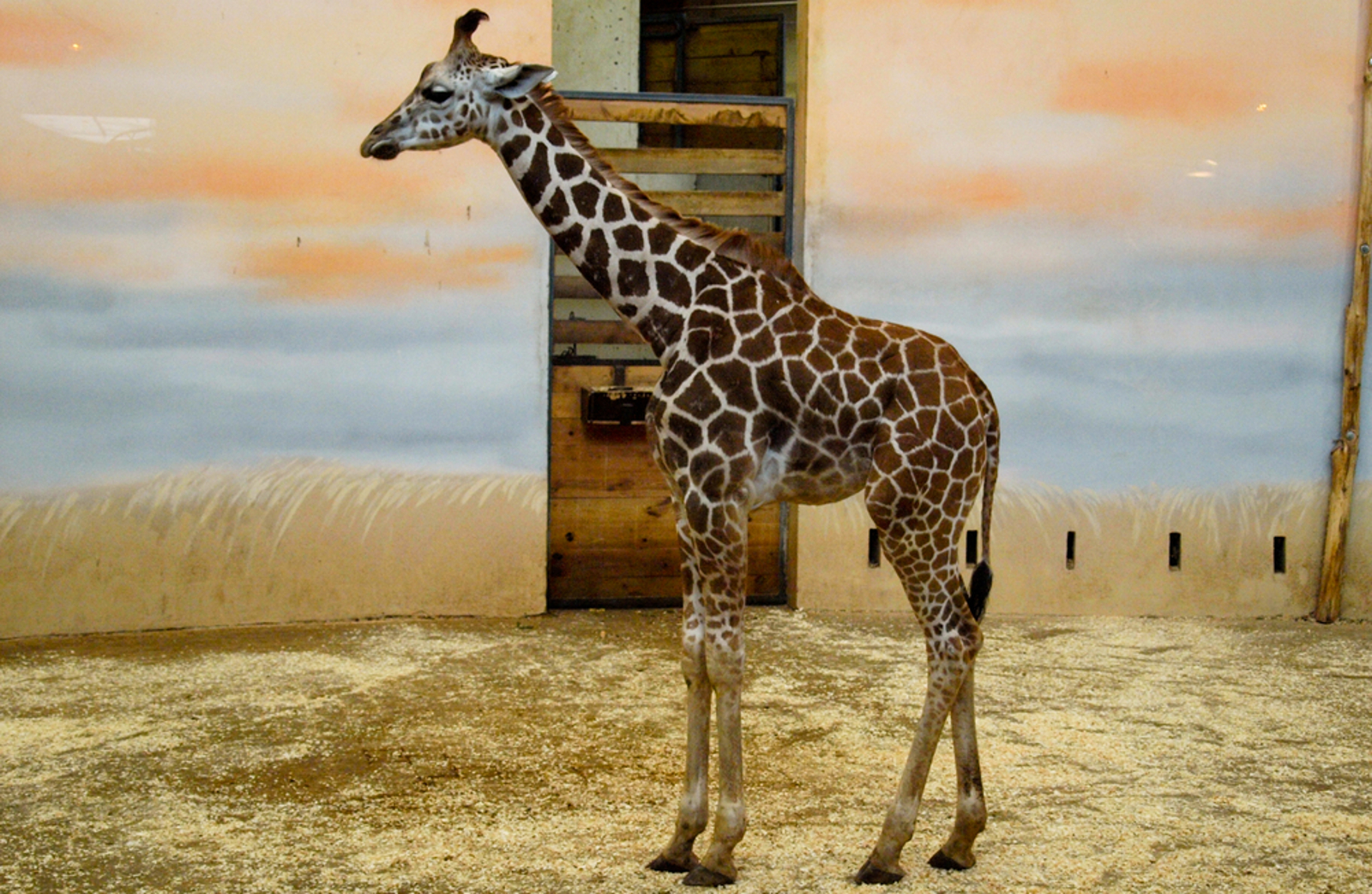 Why the Birth of a Giraffe at the Denver Zoo Isn't Something We Should Be Celebrating