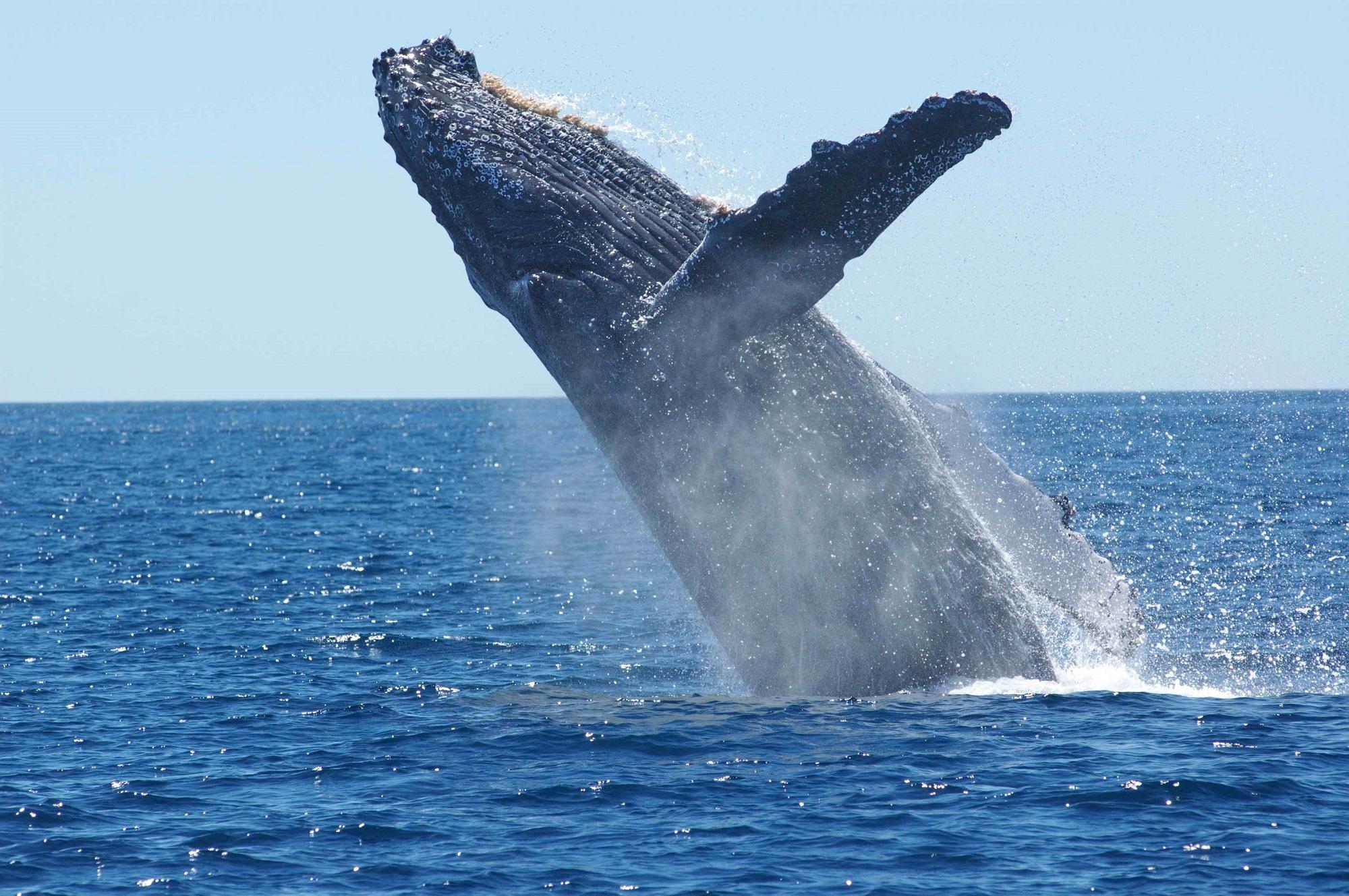 humpback-whale-1945416