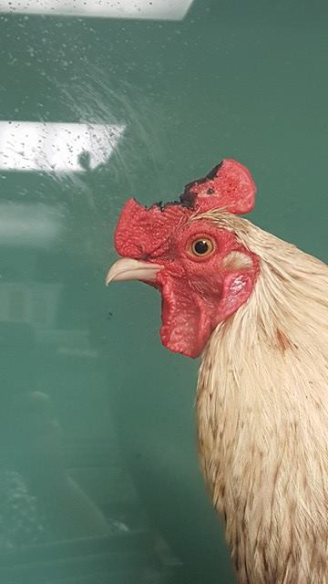 Jack the Rooster - Montreal SPCA