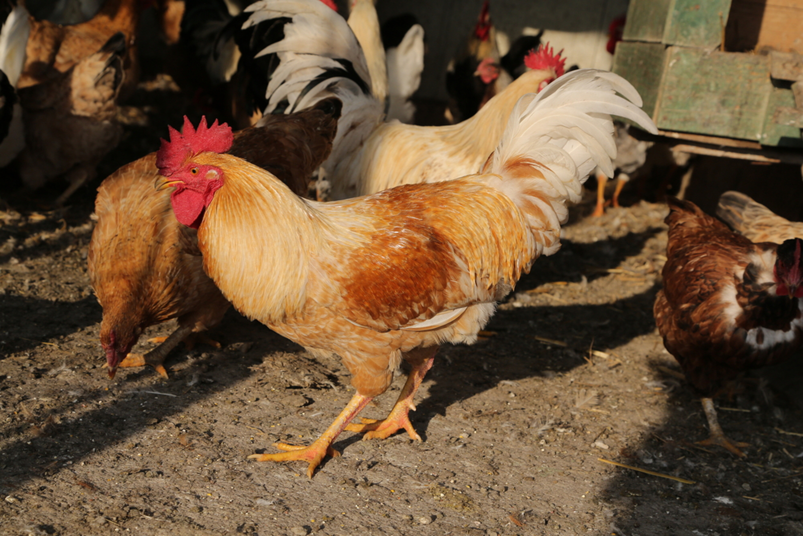 The Lives of Roosters and the Story of Two Lucky Ones that Found Sanctuary