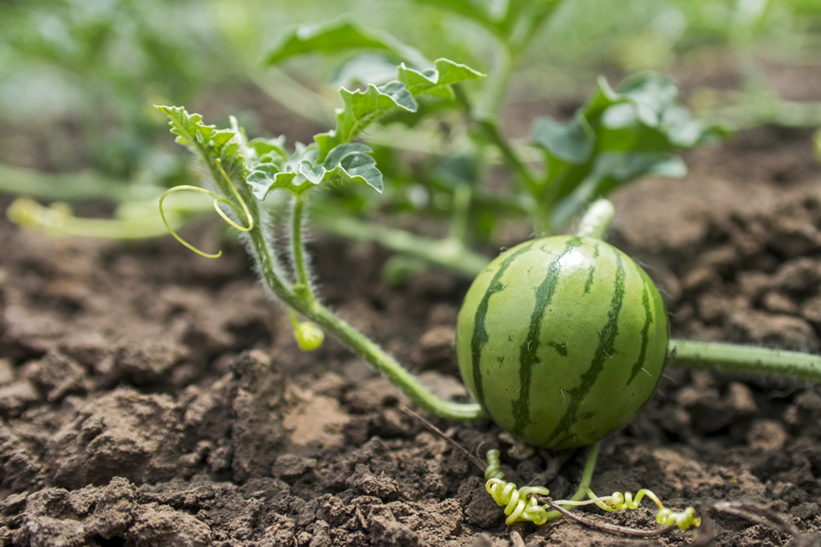How to Grow Your Own Watermelons