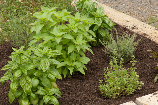 I spent the better part of 4th of July weeding the herb garden. And after all that hard work, I've finally gotten it mulched. I love the way a newly mulched garden looks.