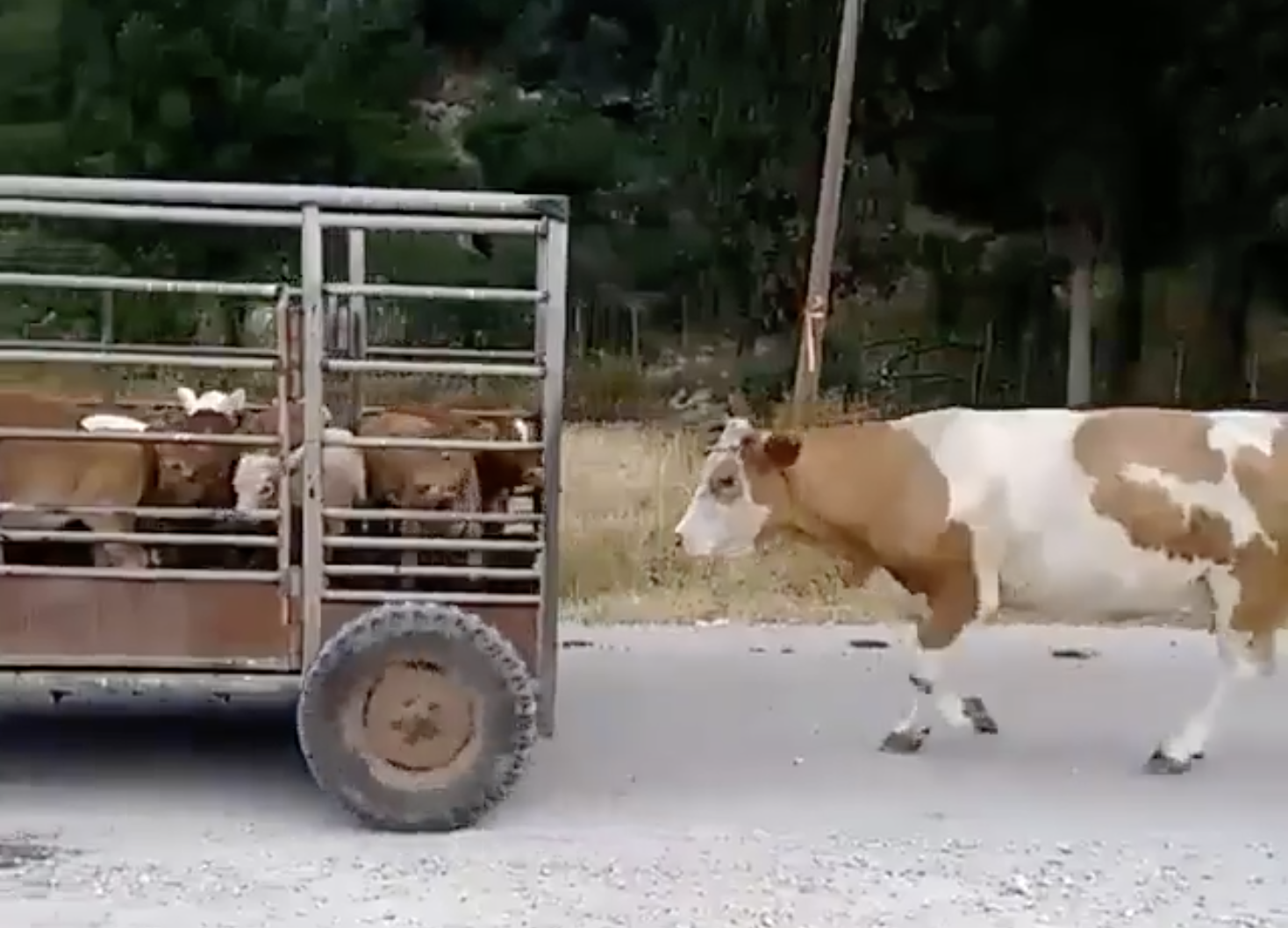 DAIRY COW FOLLOWS BABIES