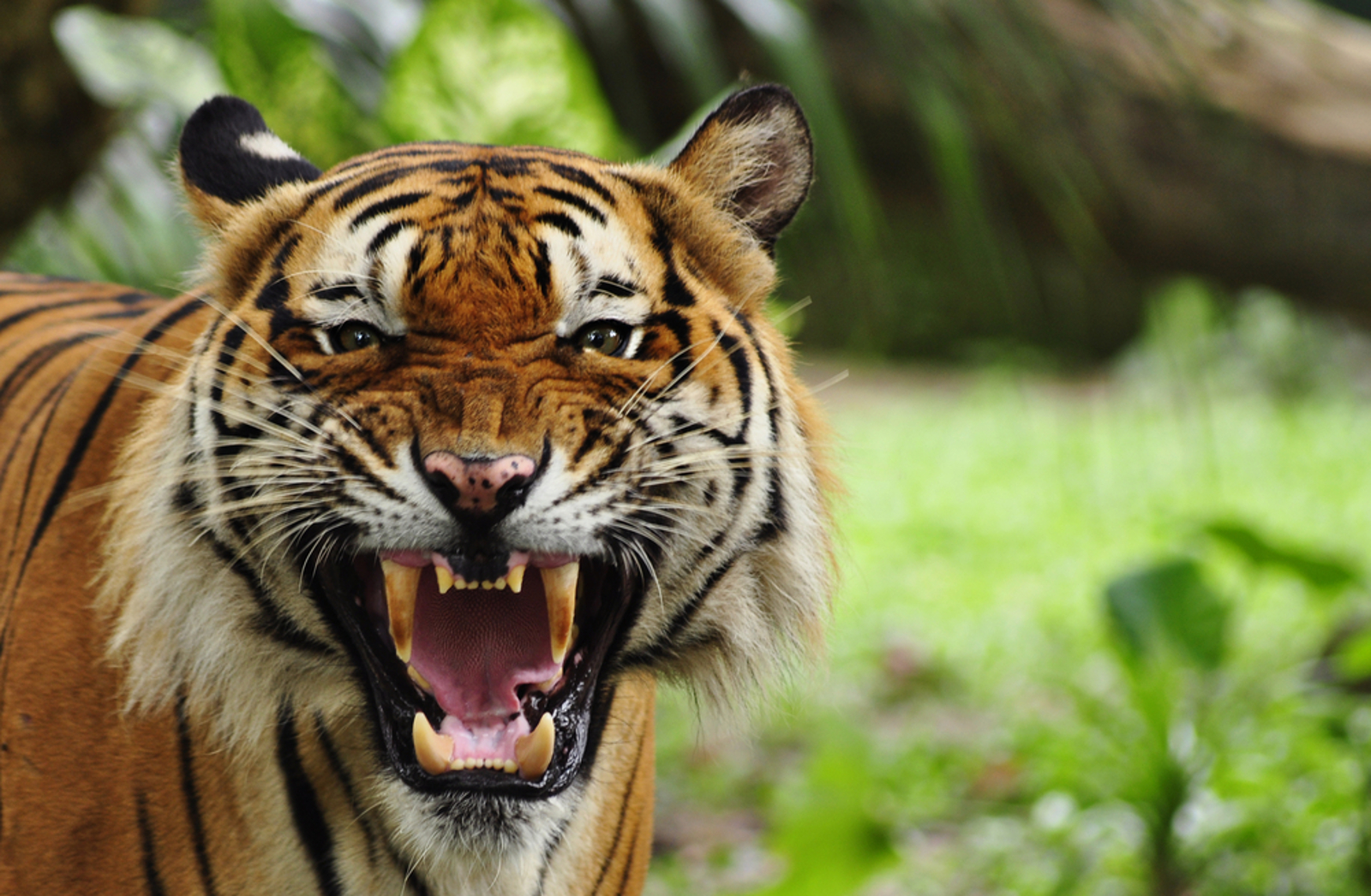 There Are More Tigers in Backyards Than the Wild – This Legislation Wants to Change That