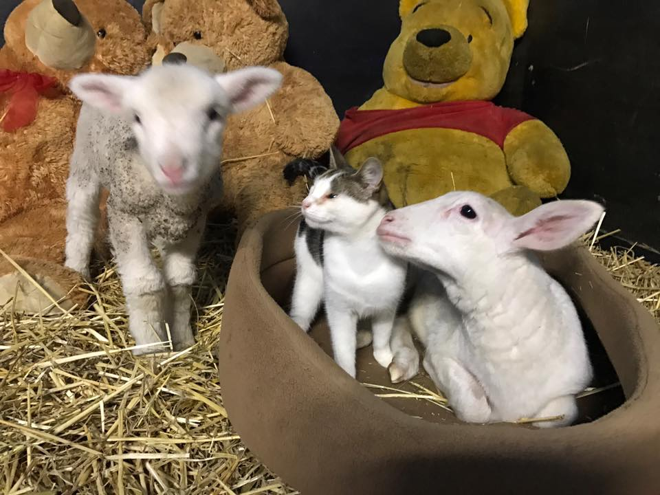 cat and lambs