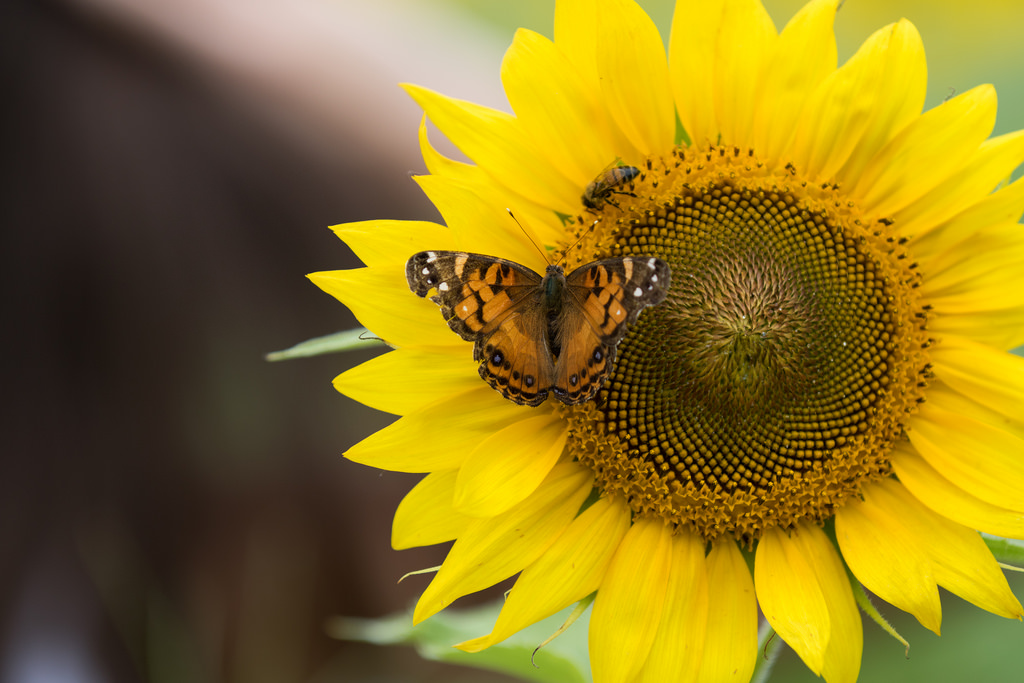 Why Sunflowers Are So Green for the Garden