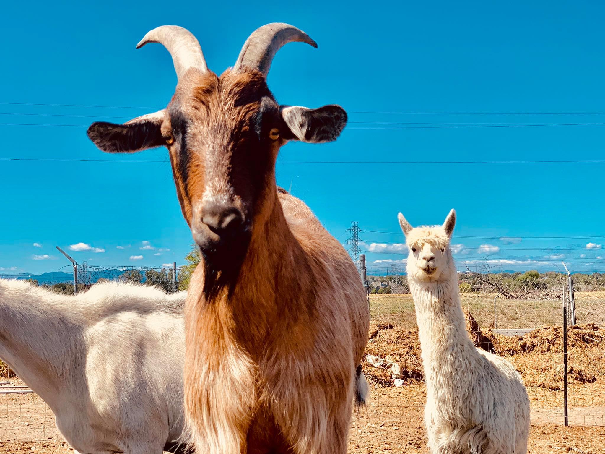 goat and alpaca