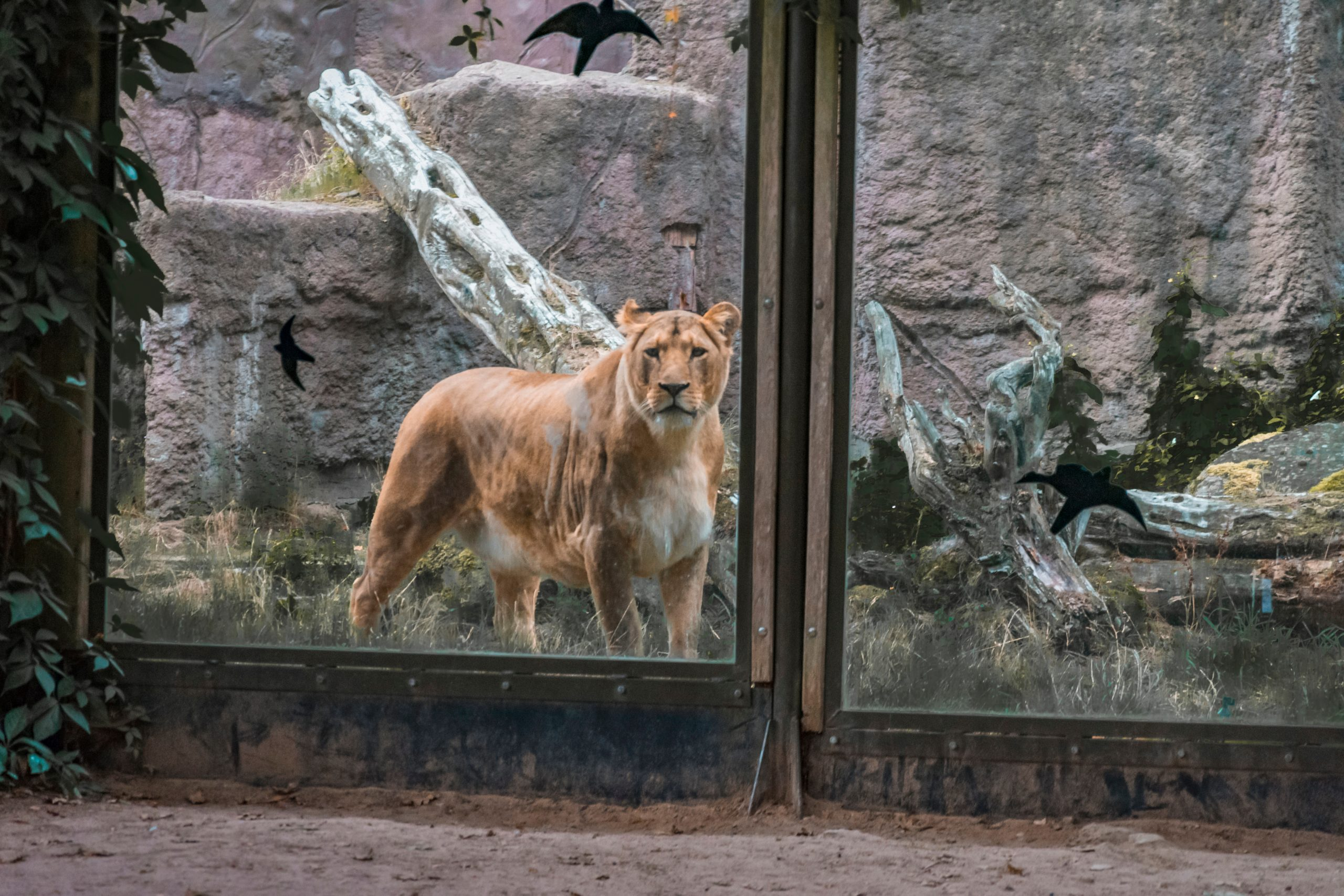 lion at zoo