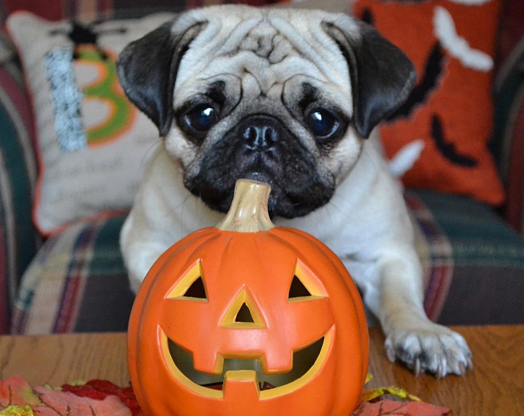 pug and pumpkin