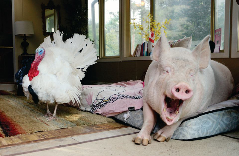 This Hilarious, Fun-Filled Turkey is Changing Hearts as an Ambassador for His Kind