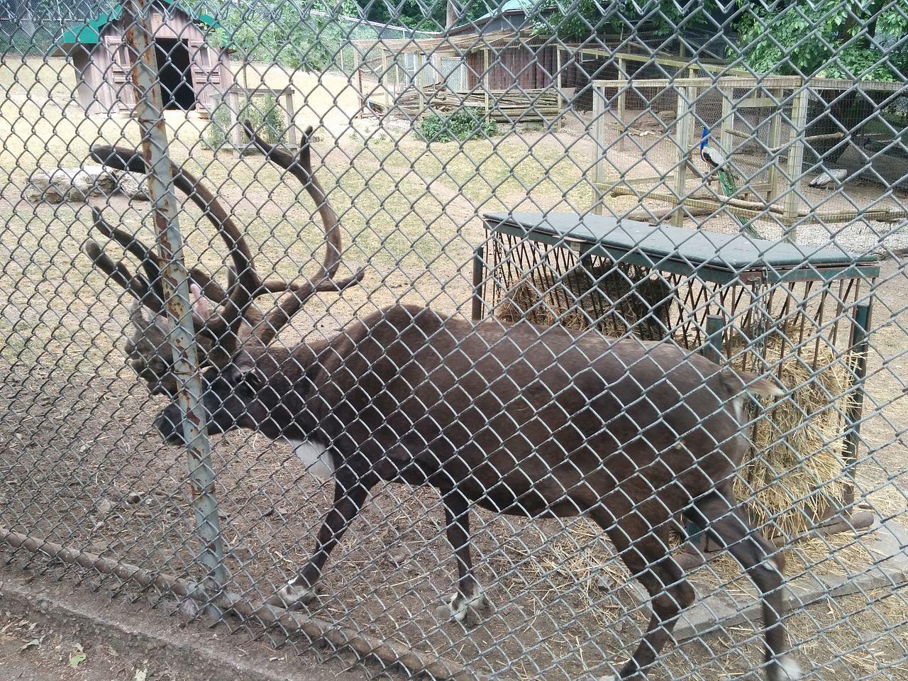 Why Putting Live Reindeer on Display is Inhumane