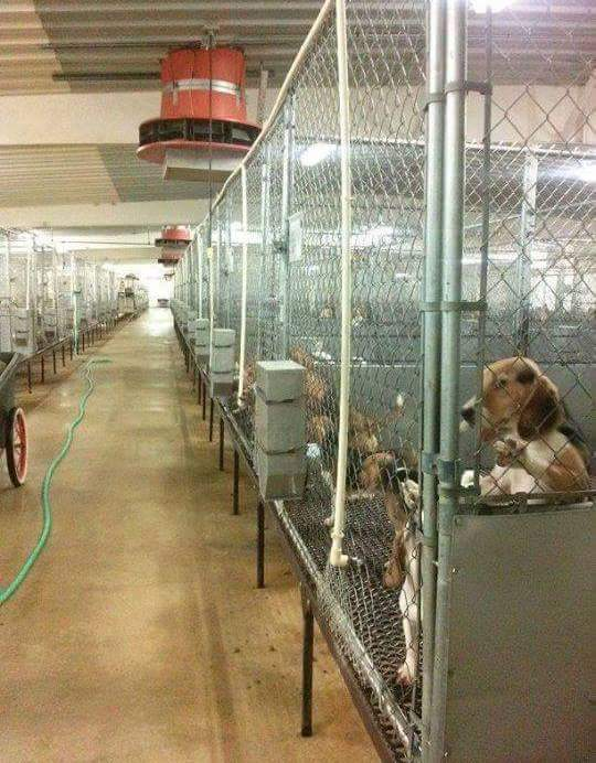 Pet Stores Aren't the Only Issue — How Research Labs Also Fuel the Commercial Breeding Industry