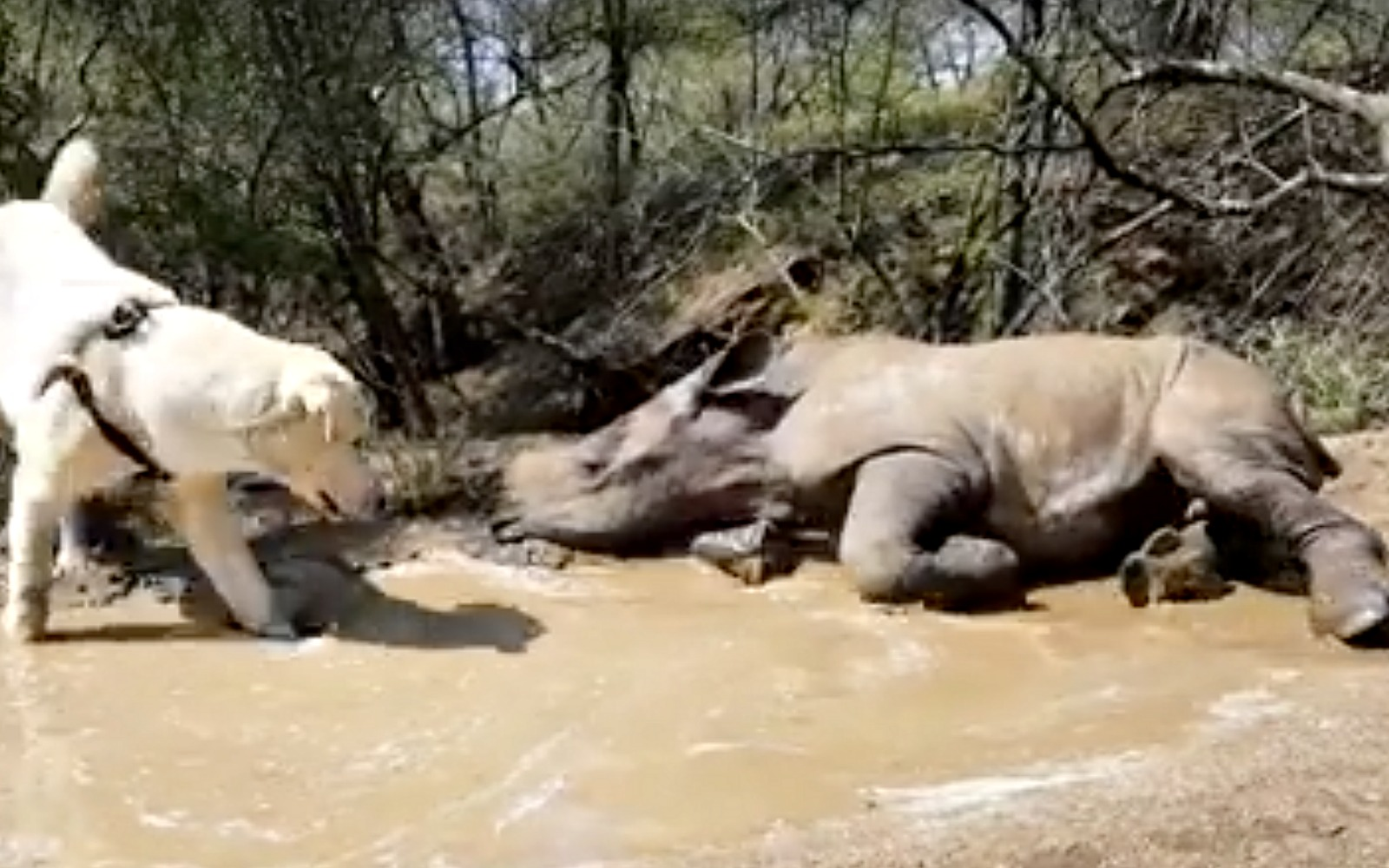 This Dog and Baby Rhino Playing Together in Mud Are Just What You Need (VIDEO)