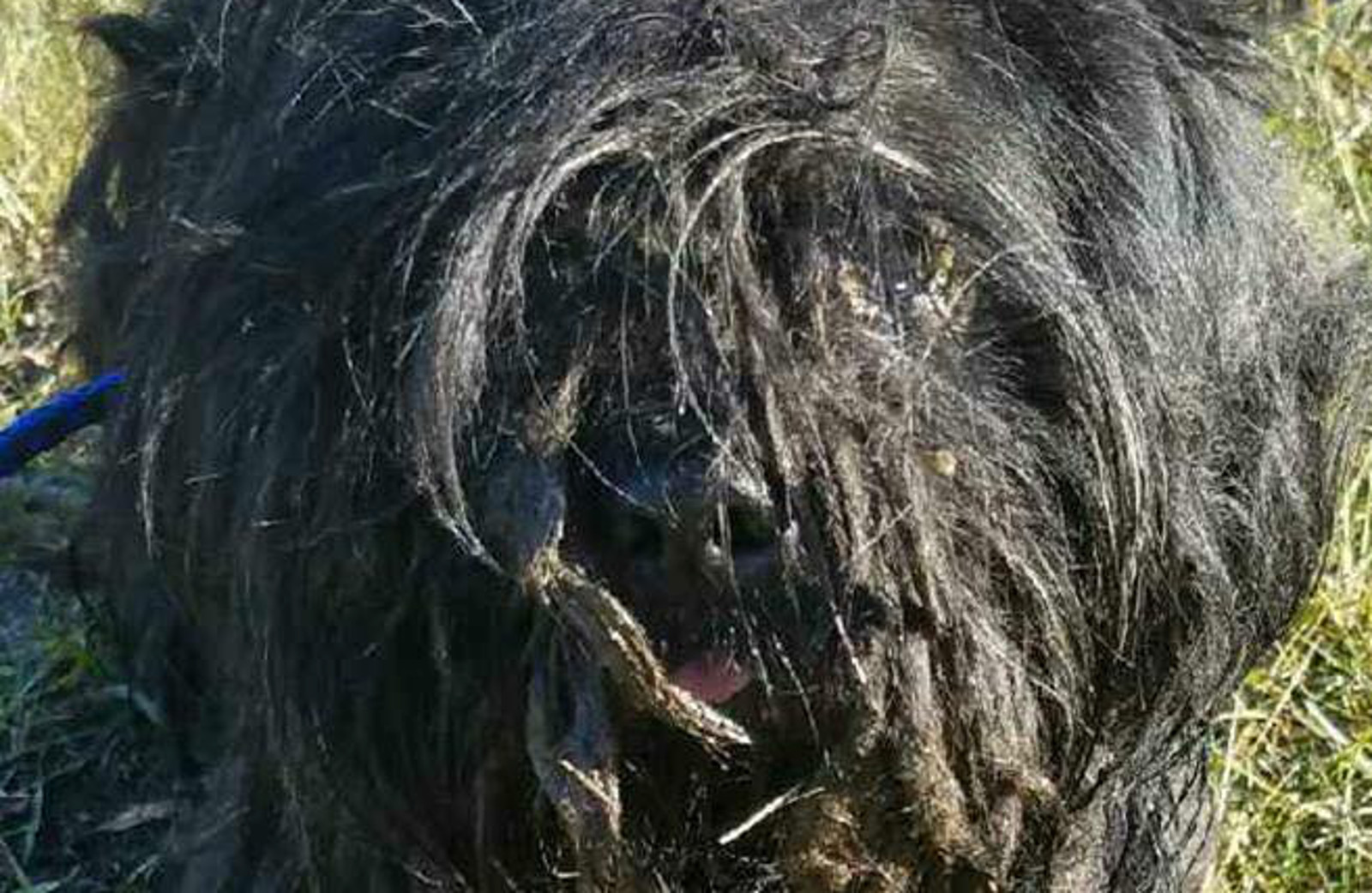 Severely Neglected Dog Looked More Like a Mop Than a Canine – Now He's Unrecognizable! (PHOTOS)
