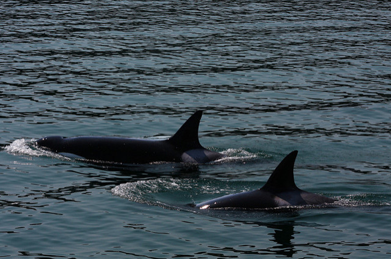 The Wonder of Orcas: Challenges These Majestic Animals are Facing and How You Can Help