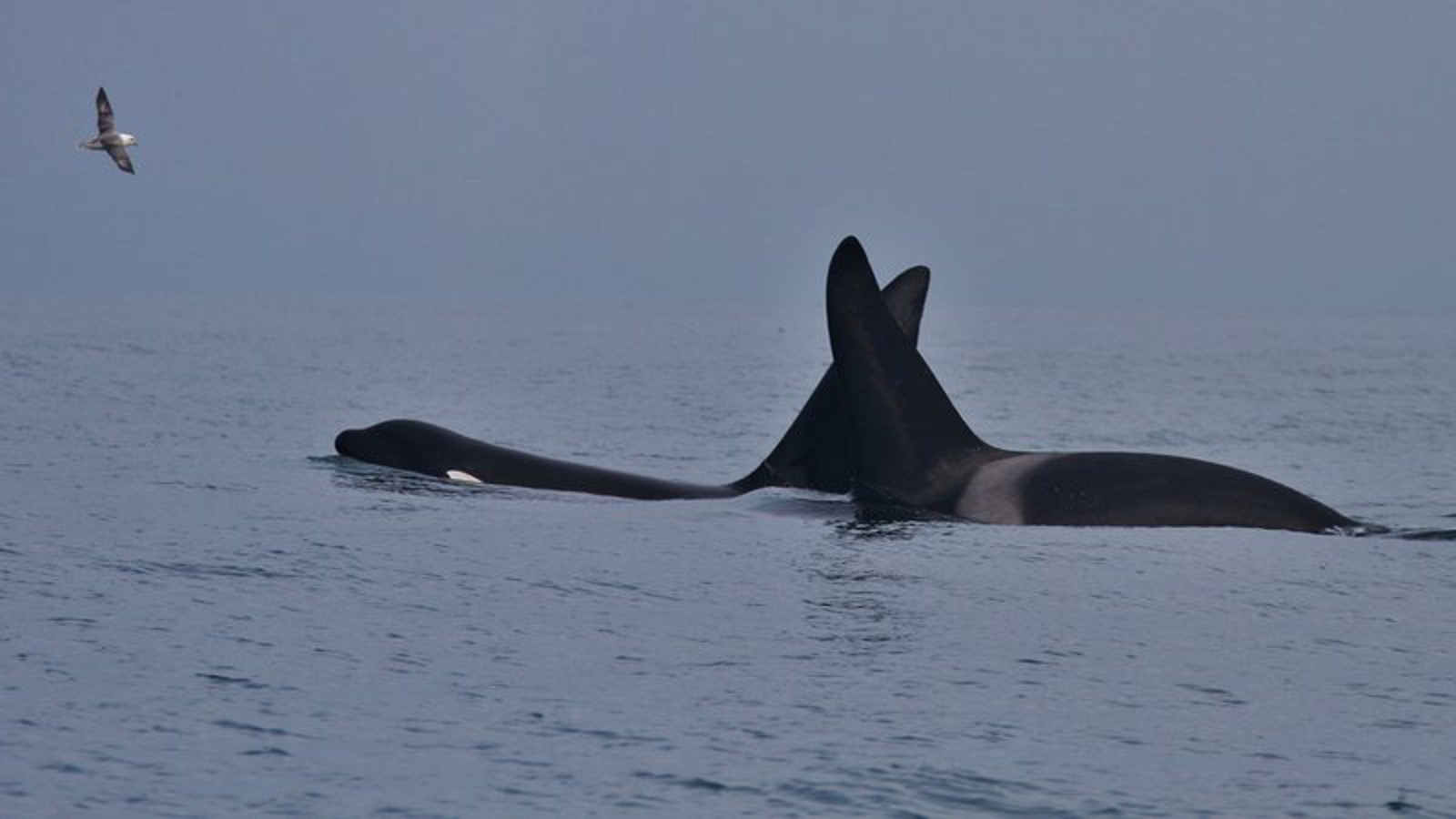 Orcas Spotted Off the Irish Coast Demonstrate Why These Animals Belong in the Wild