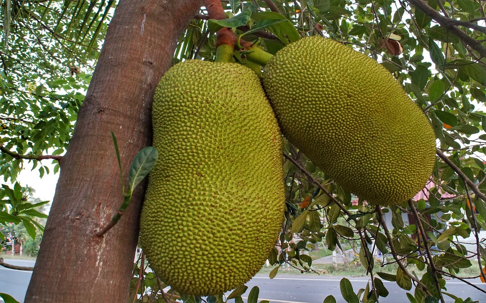 Jackfruit hanging on tree