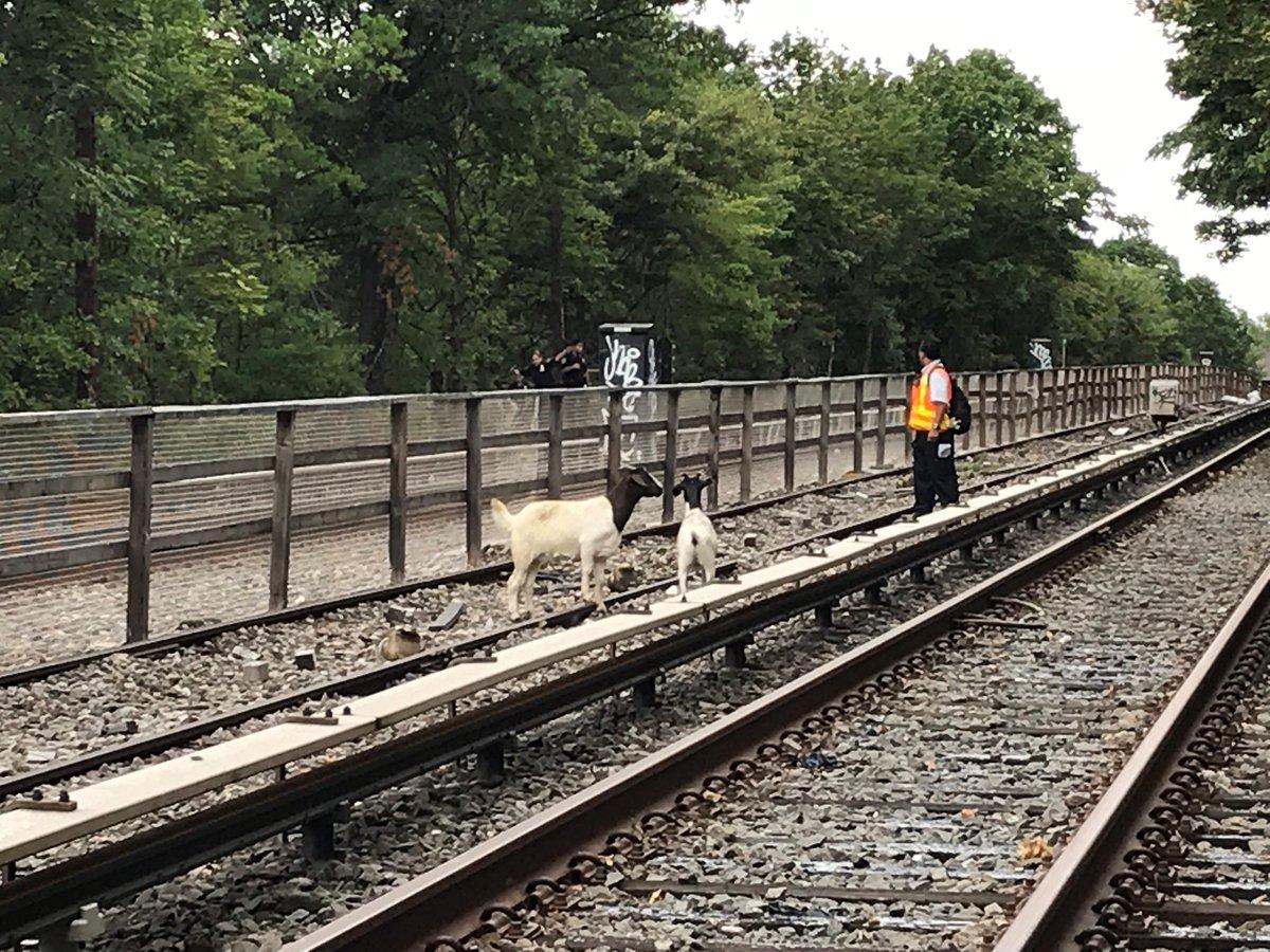 Goats on subway tracks