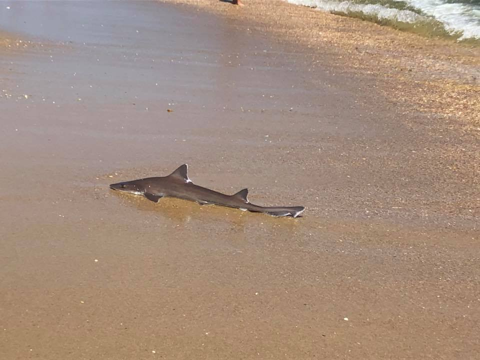 Shark who was rescued by lifeguard