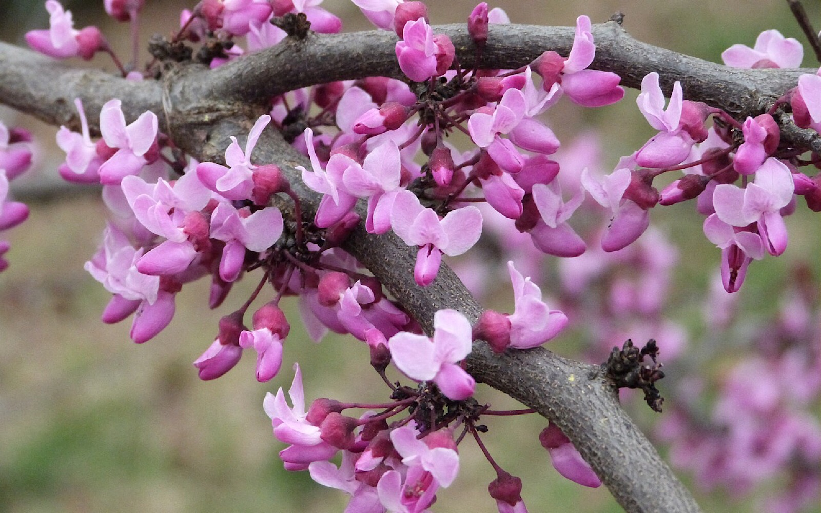 Learning To Love The Redbud Tree One Of Nature S Great Gifts
