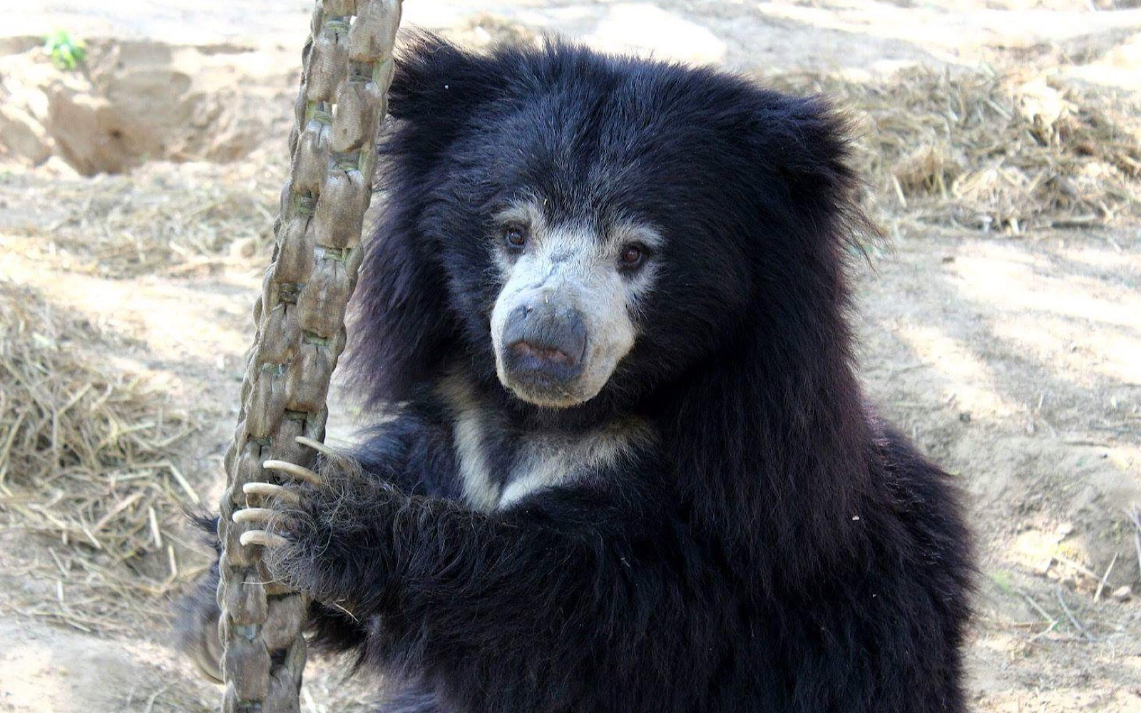 10 Reasons Why Sloth Bears Are The Cutest - One Green Planet