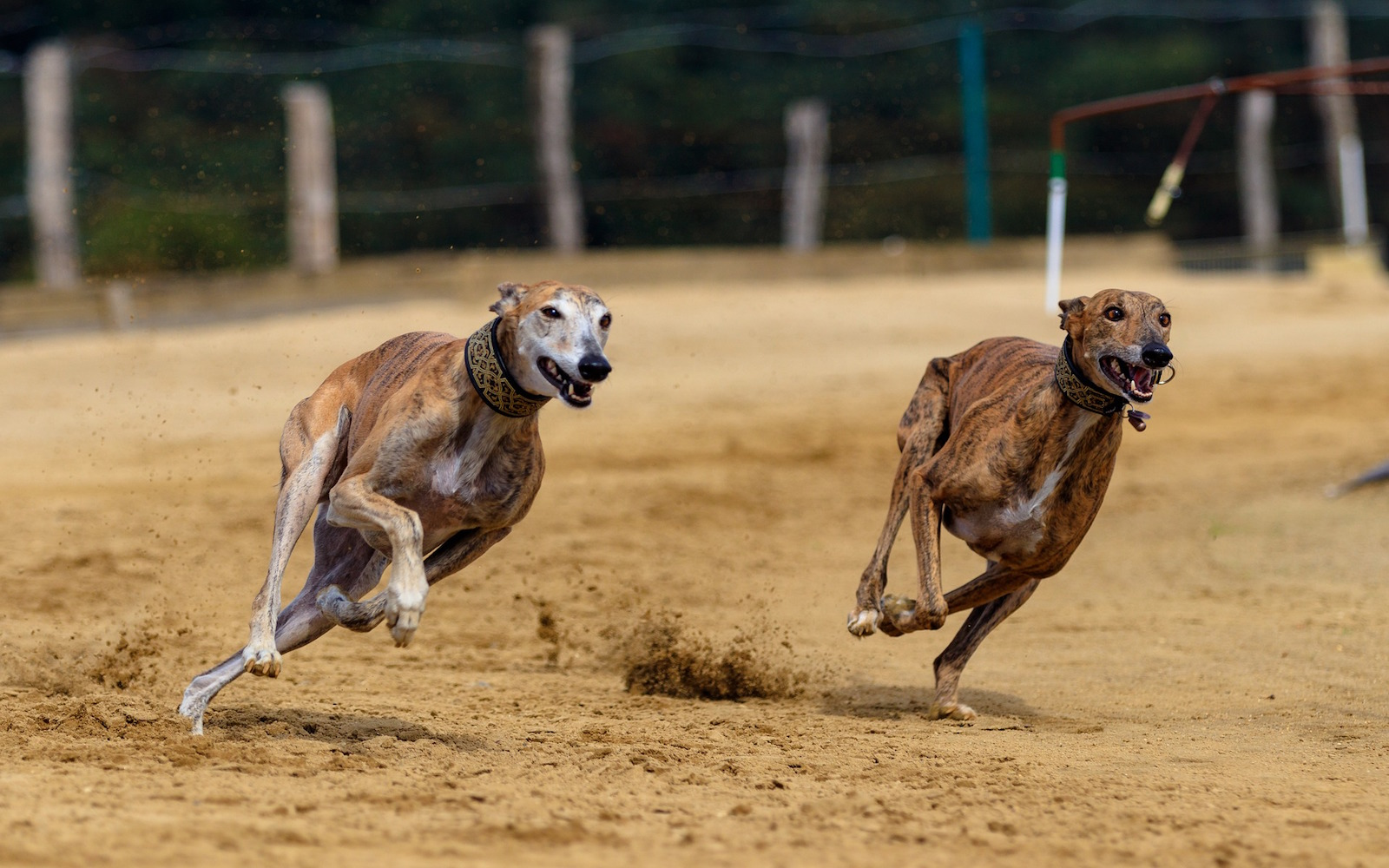 Lives Of Greyhounds In Racing Industry