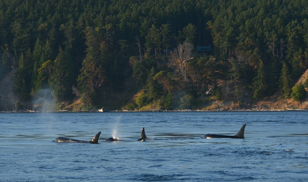 An Orca Swimming With Her Deceased Calf Reminds of How Animals Have Feelings Just Like Humans and Why We Need to Protect Them