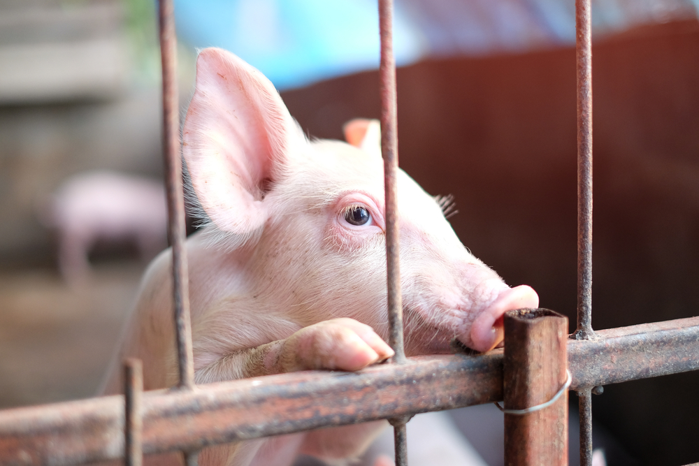 Here's How YOU Can Help Enact the Most Historic and Impactful Law for Farm Animals in the World