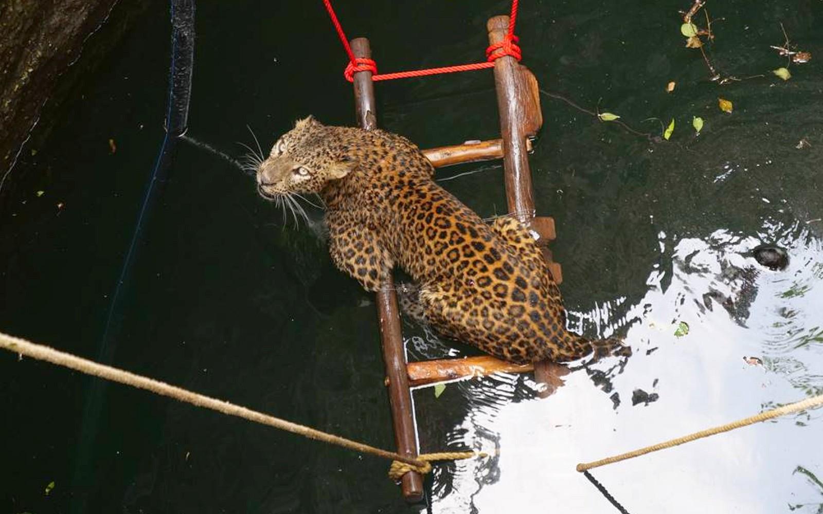 Leopard in well