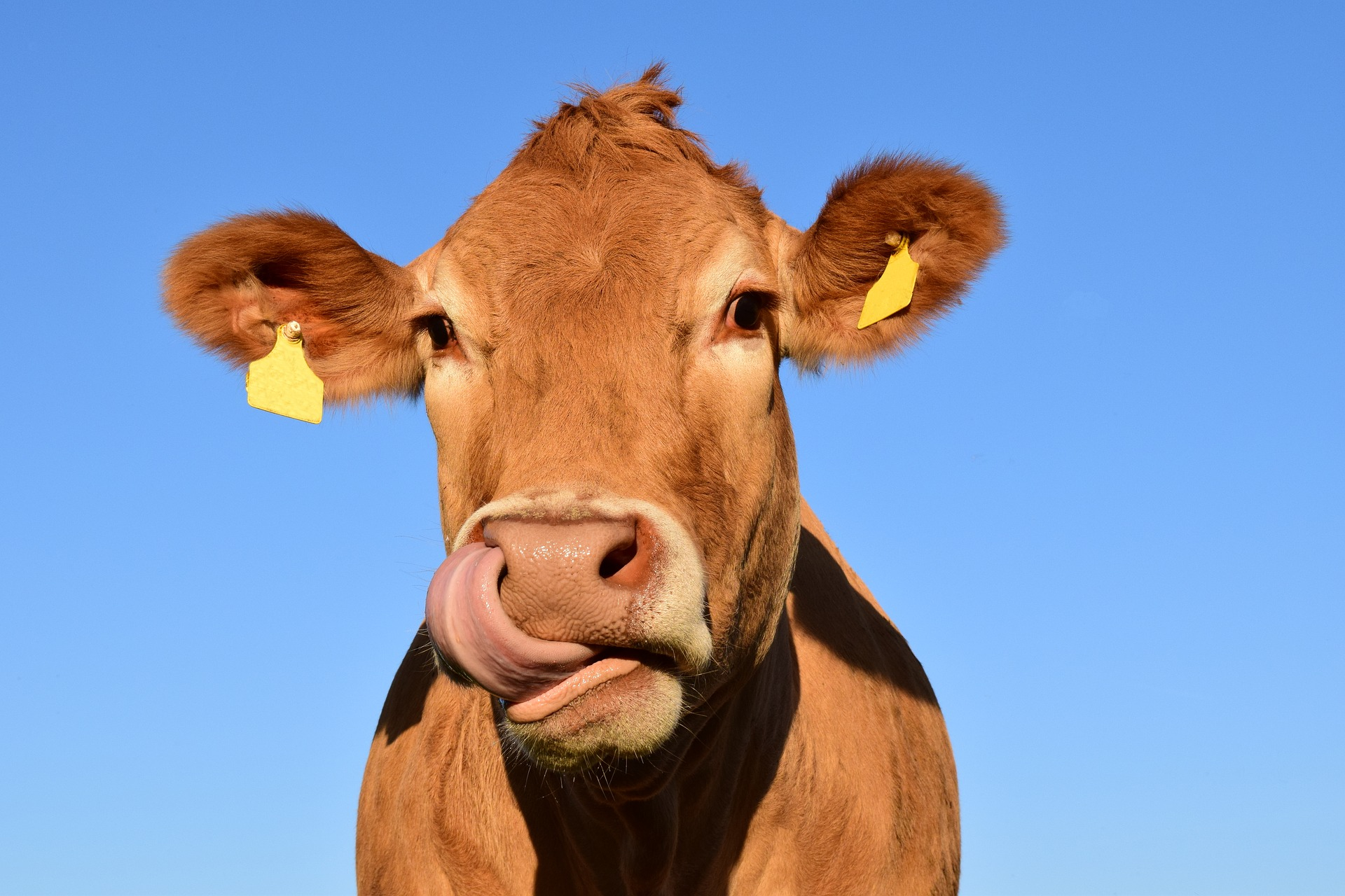 Beautiful brown cow