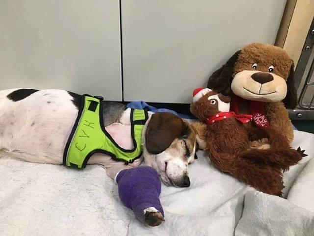 Adam the beagle with a leg cast