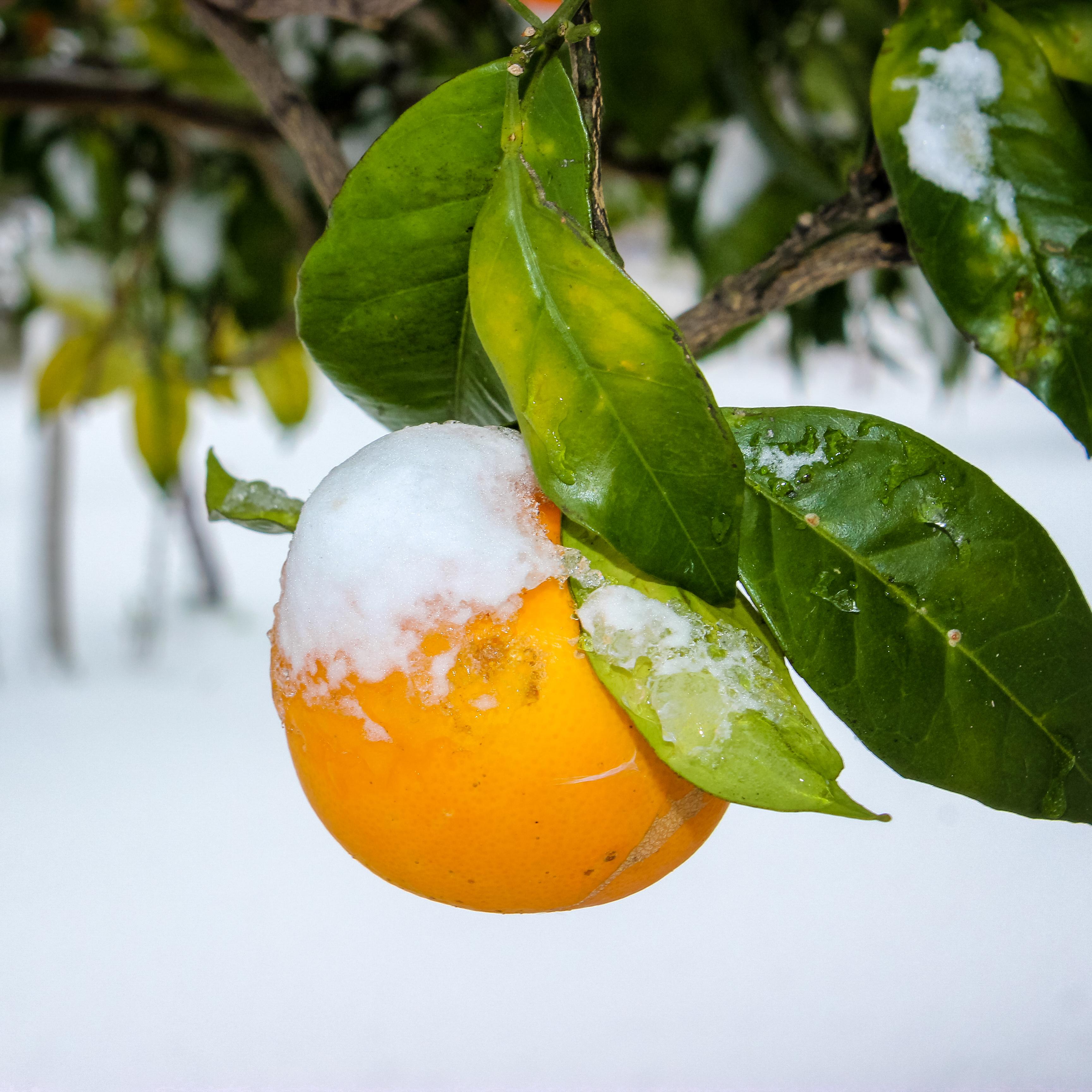 Orange under snow