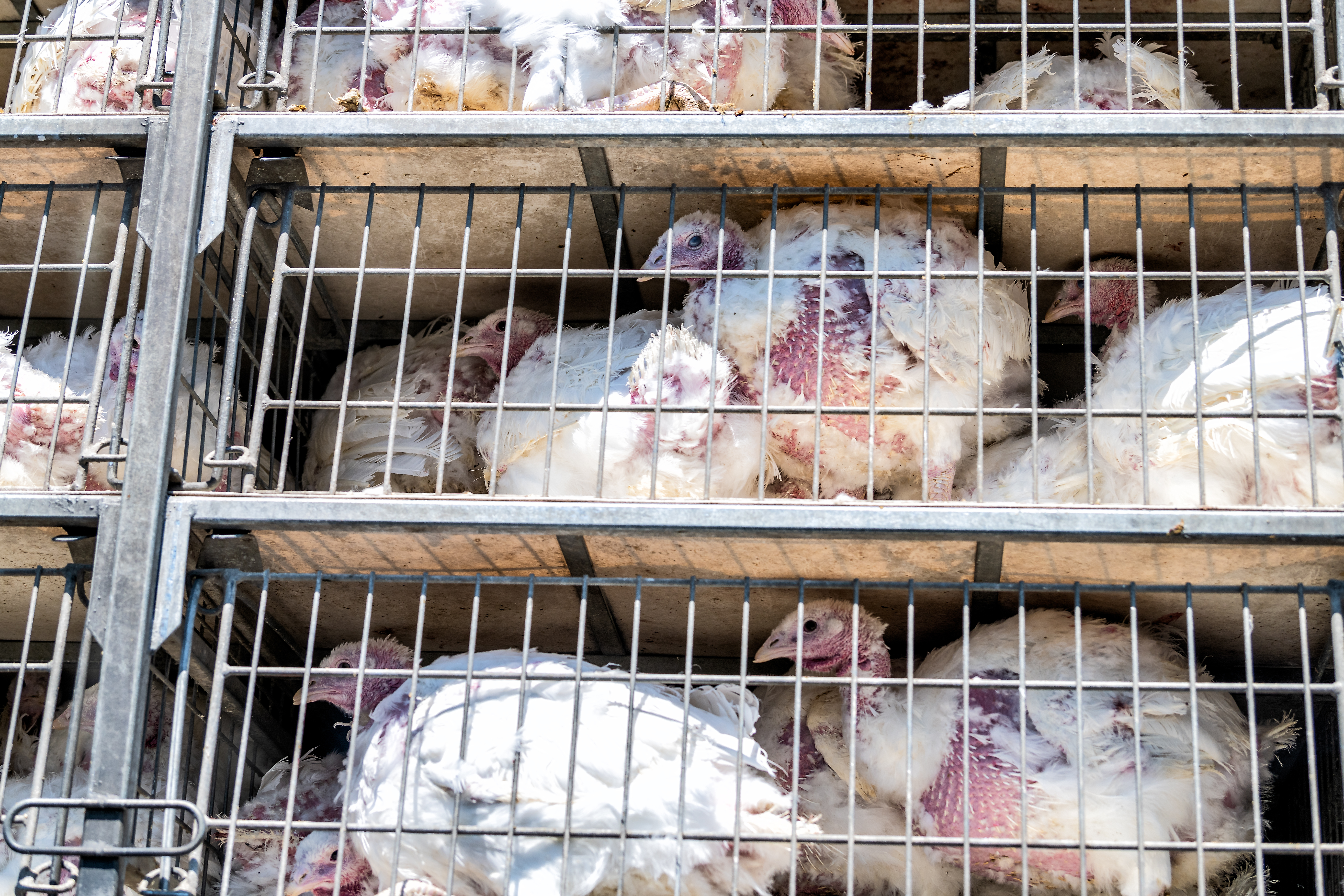 turkeys in cages