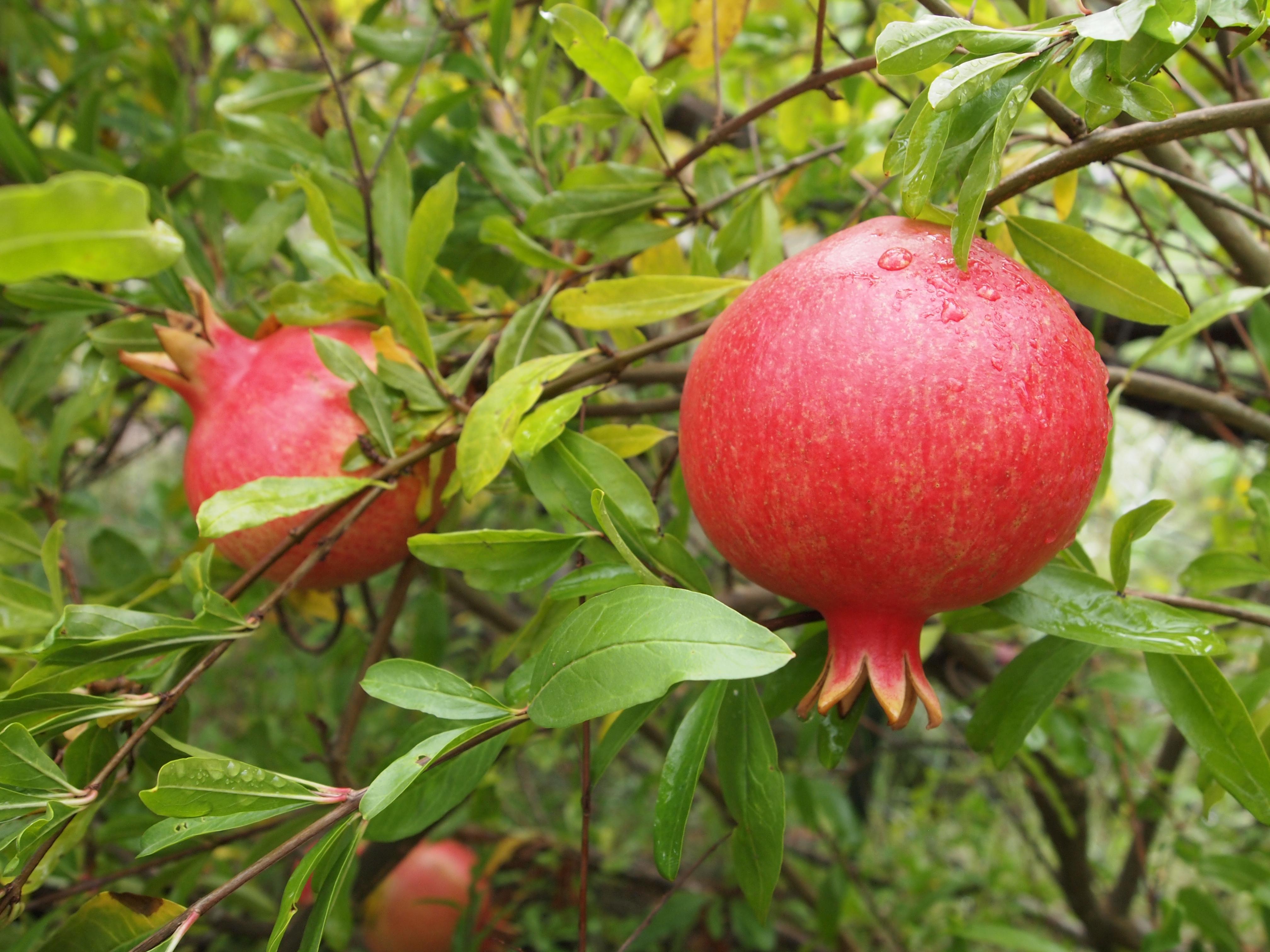 Pomegranate on shrub