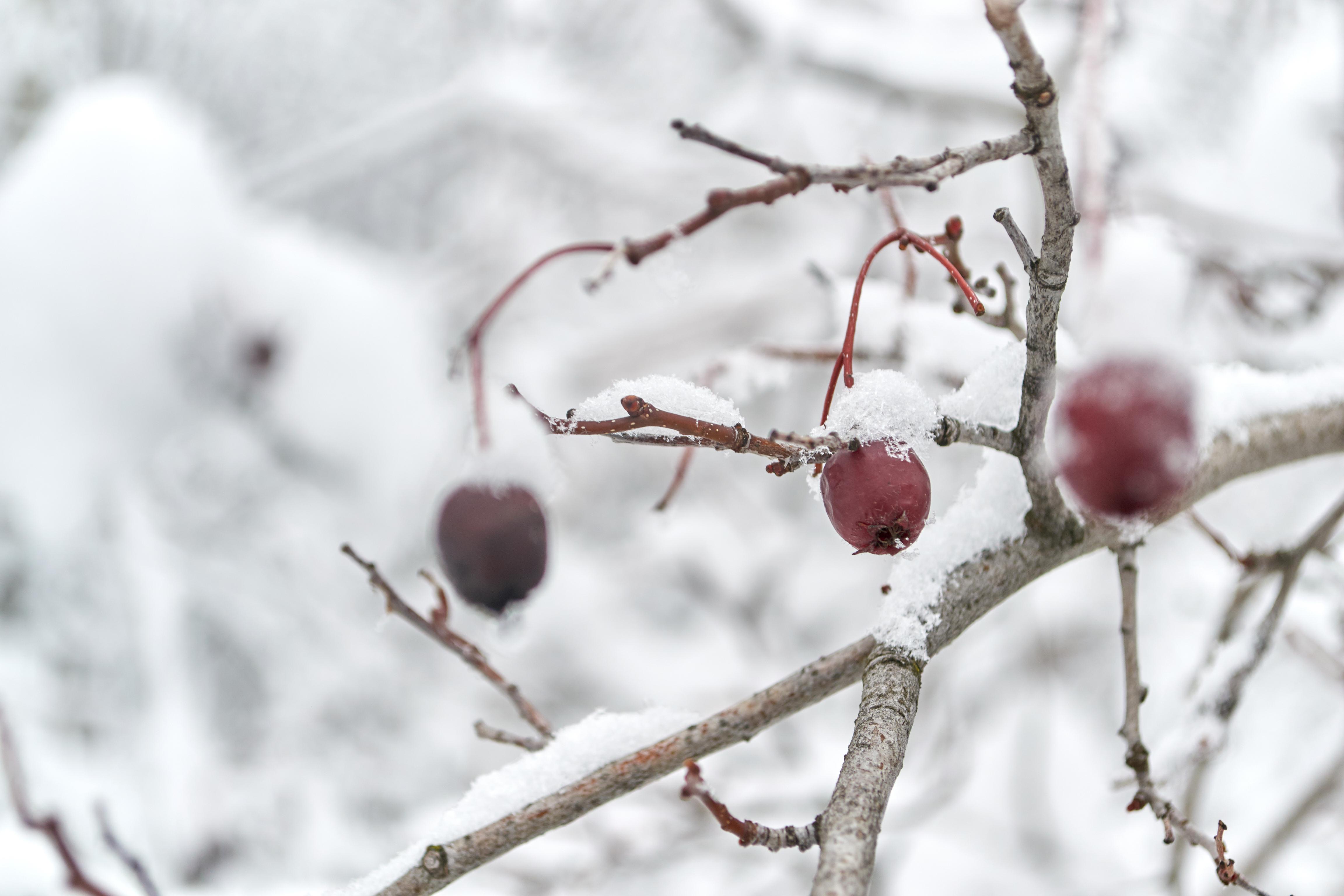 Hawthorne berries under snow