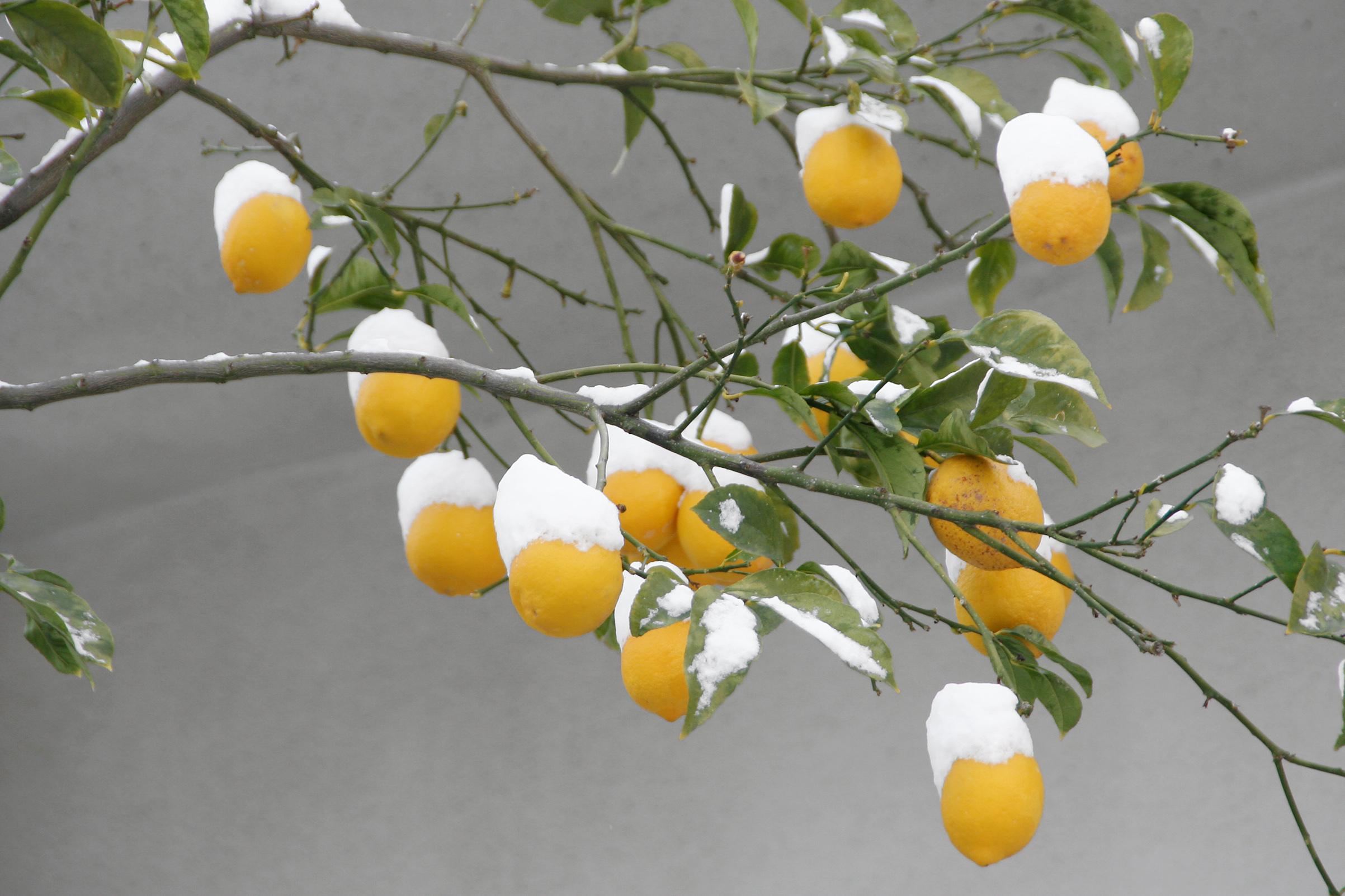 Lemon tree covered with snow