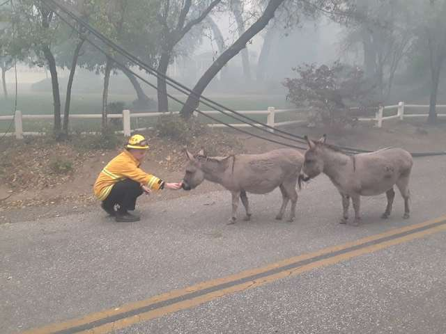 Firefighters with rescued donkeys
