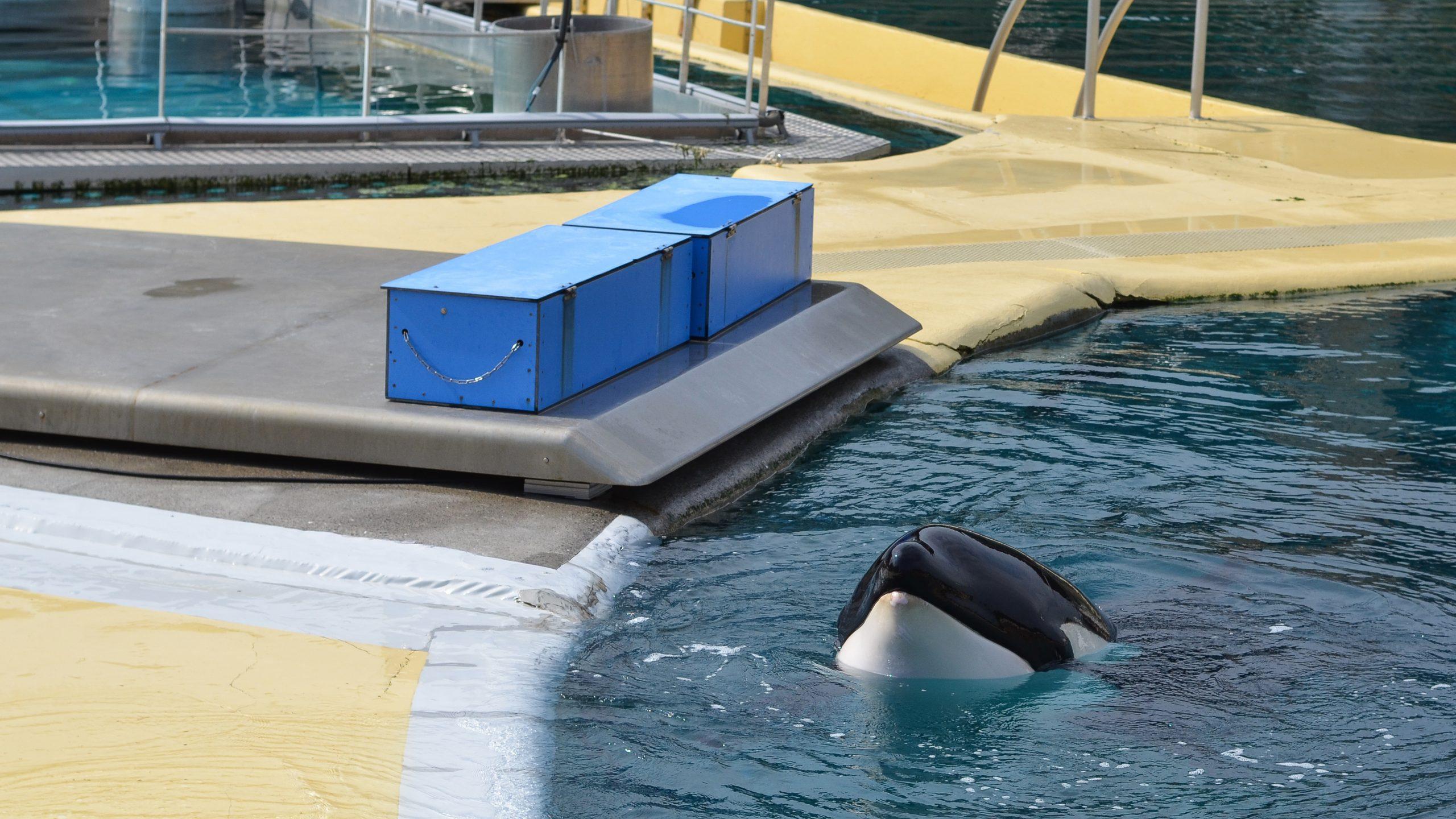 orca in pool