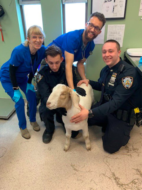 Goat with police and vets