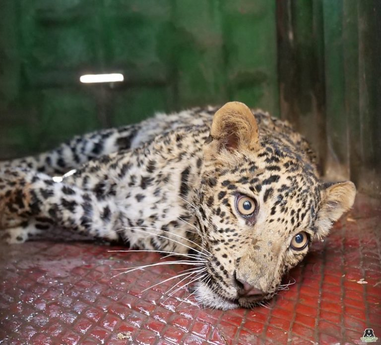 leopard saved by Wildlife SOS