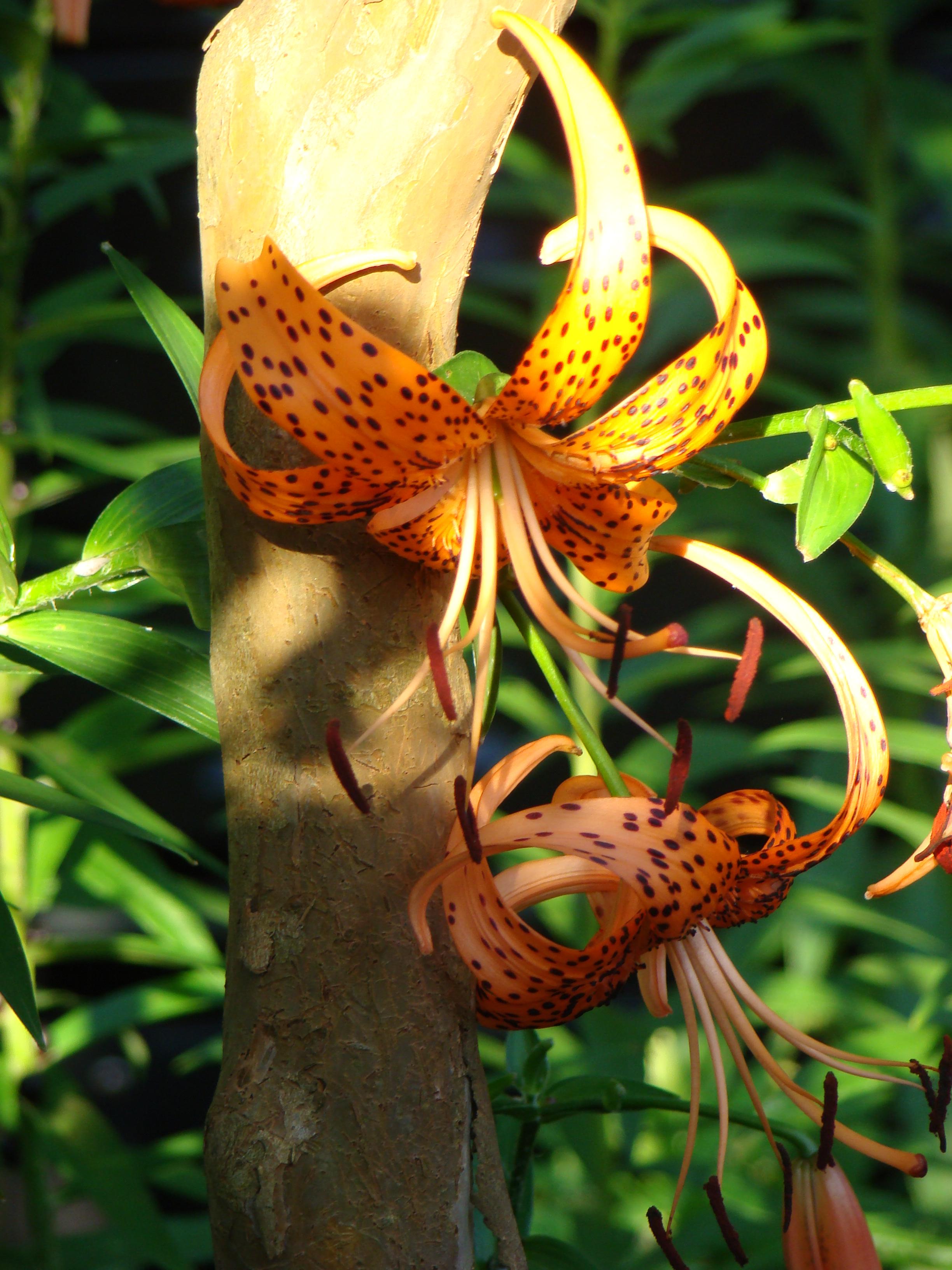 tiger lillies on a tree