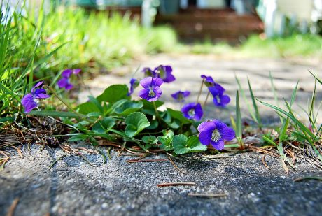 Violets on the ground
