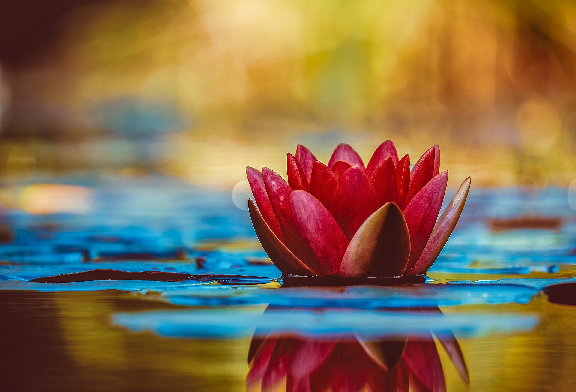 Lotus flower in water