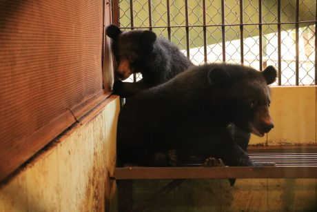 Moon bear cubs, sugar and spice