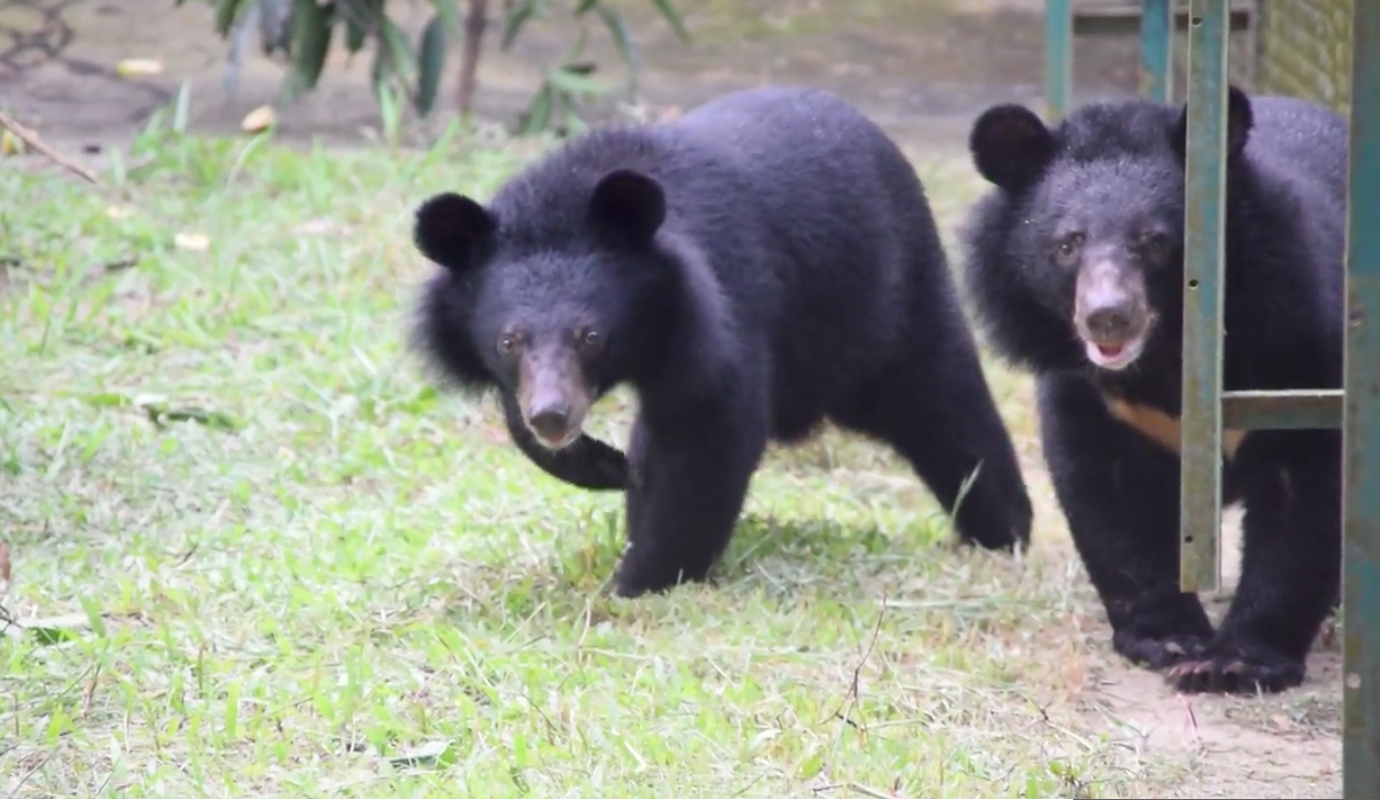 Moon bear cubs