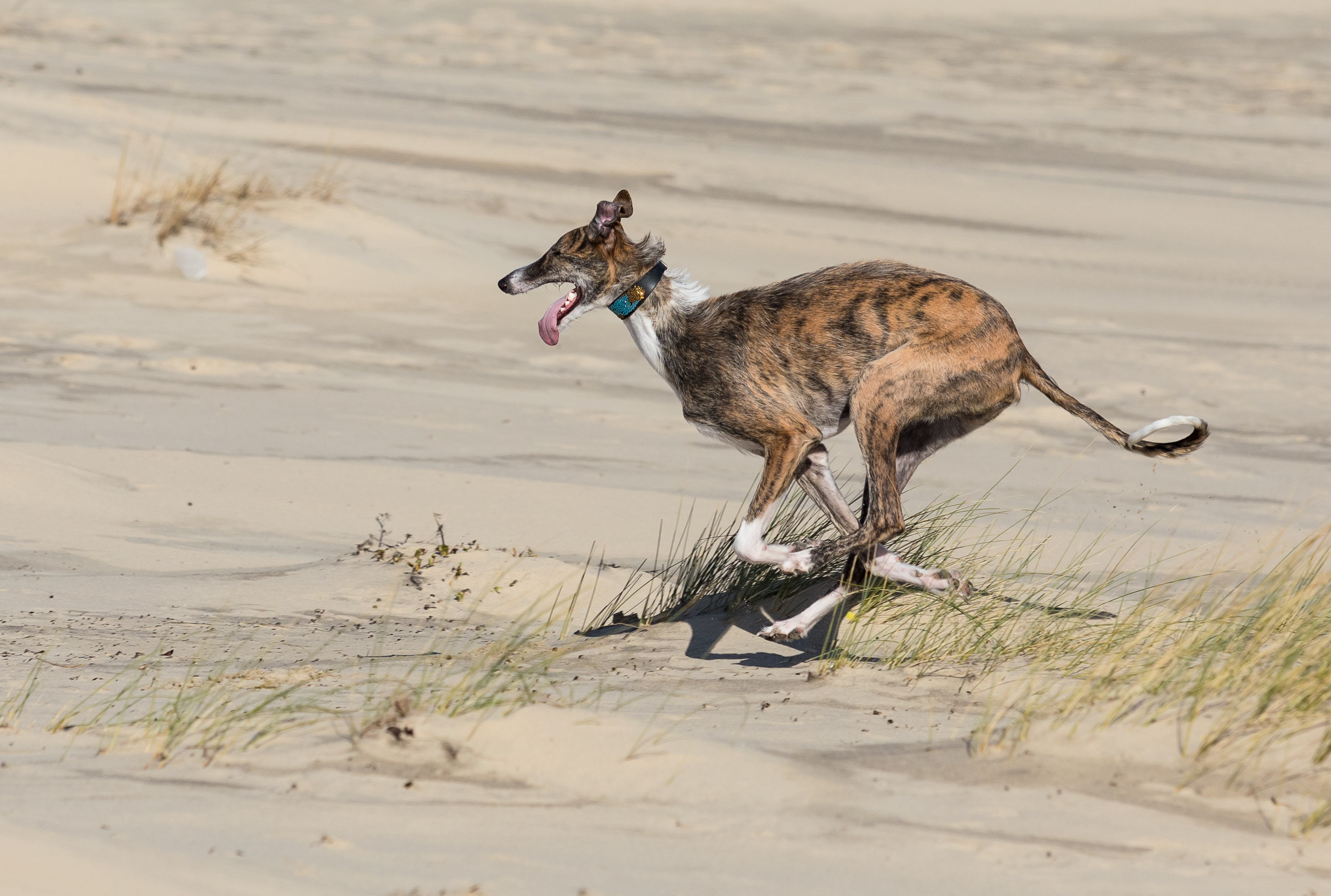 Galgos running
