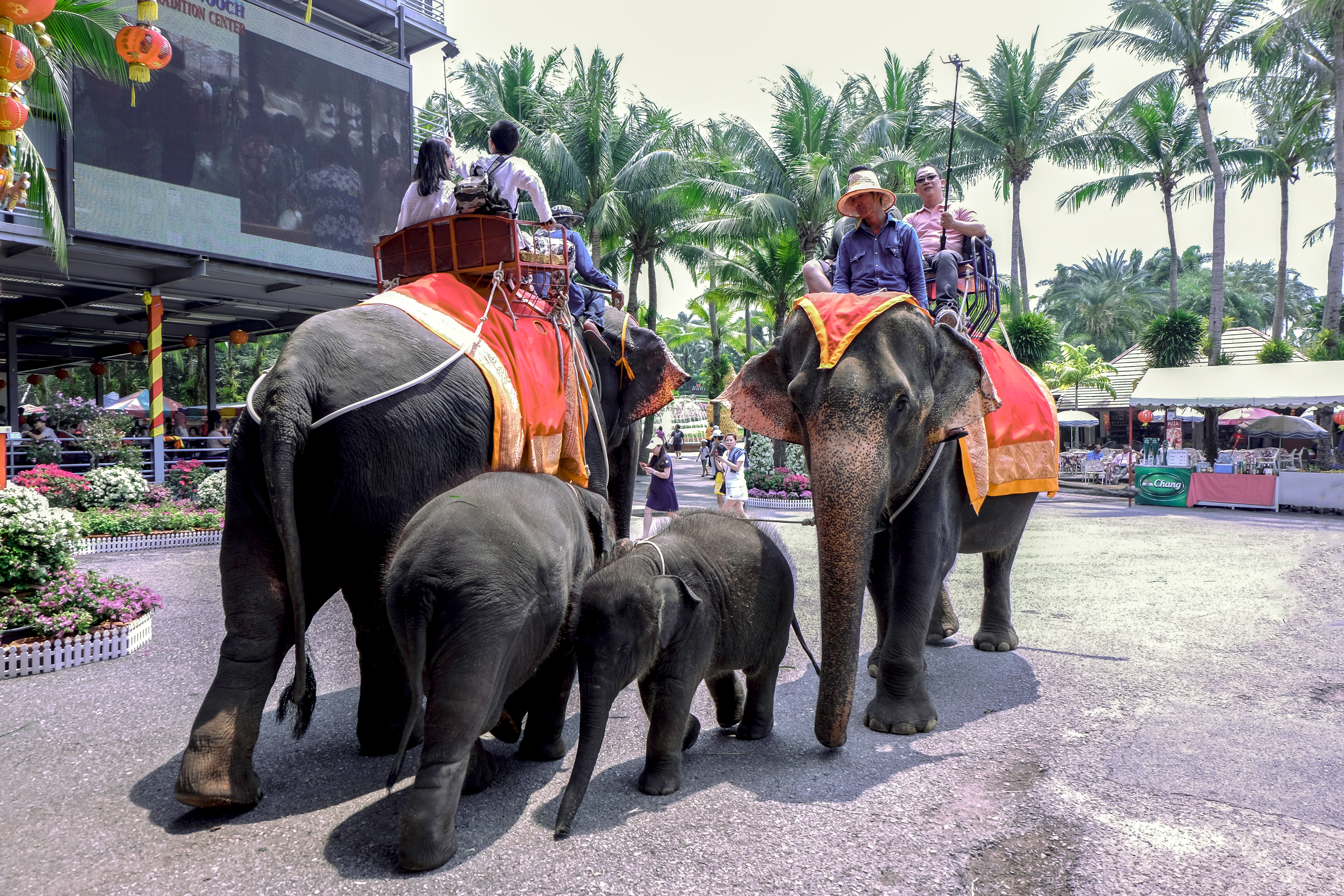 Baby elephants tied to their mothers giving rides to tourists