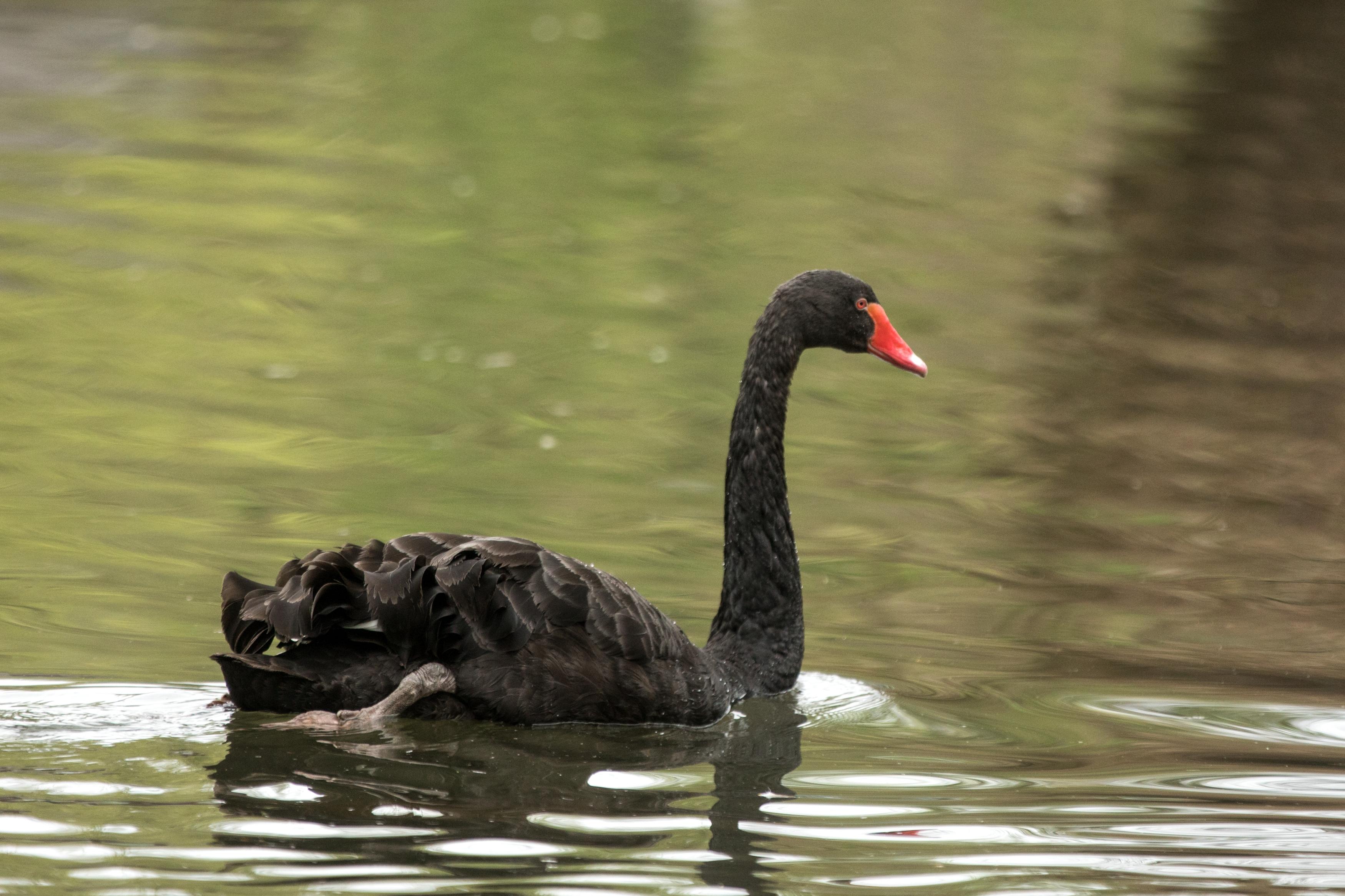 Black Swan in water