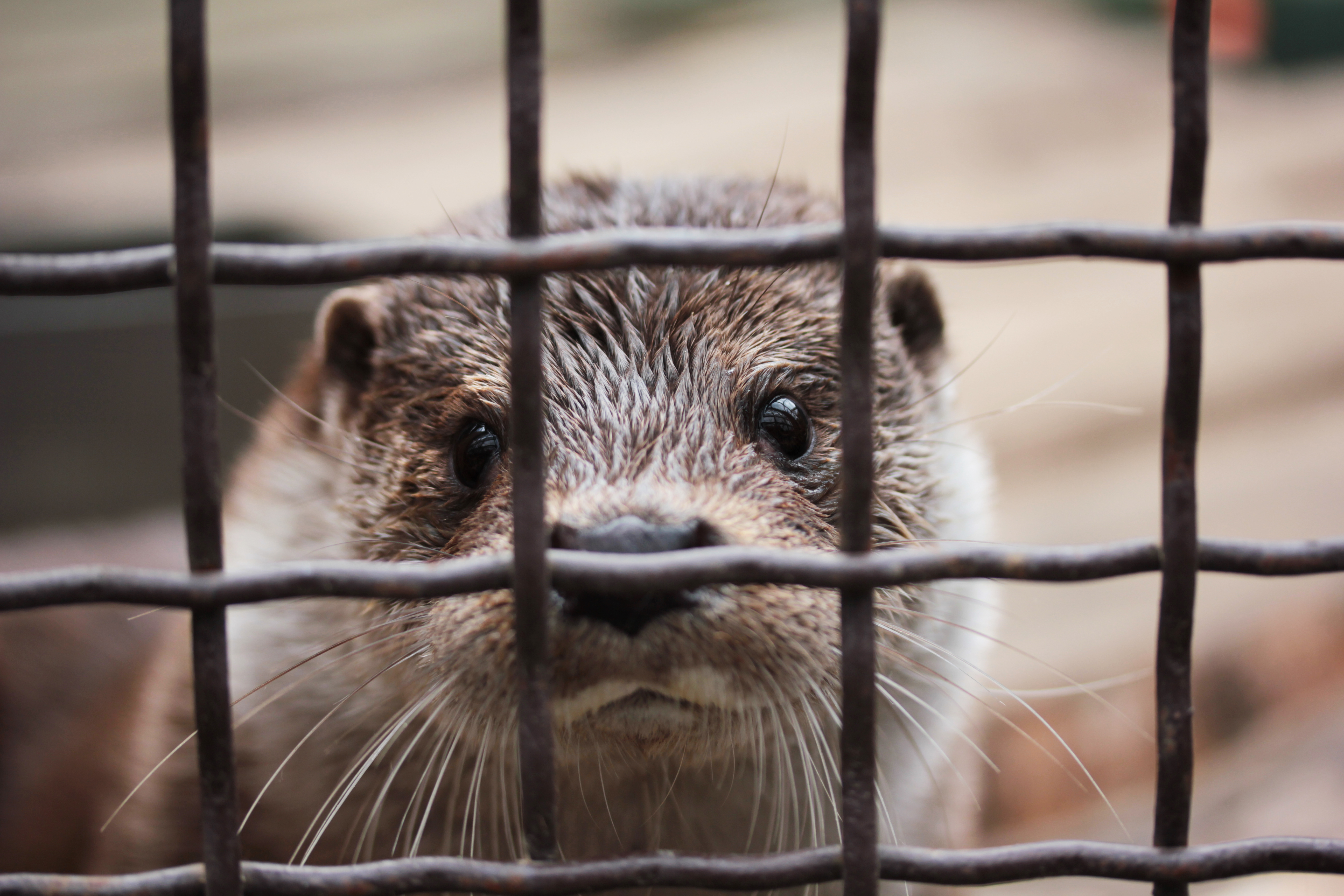 Otters behind bars