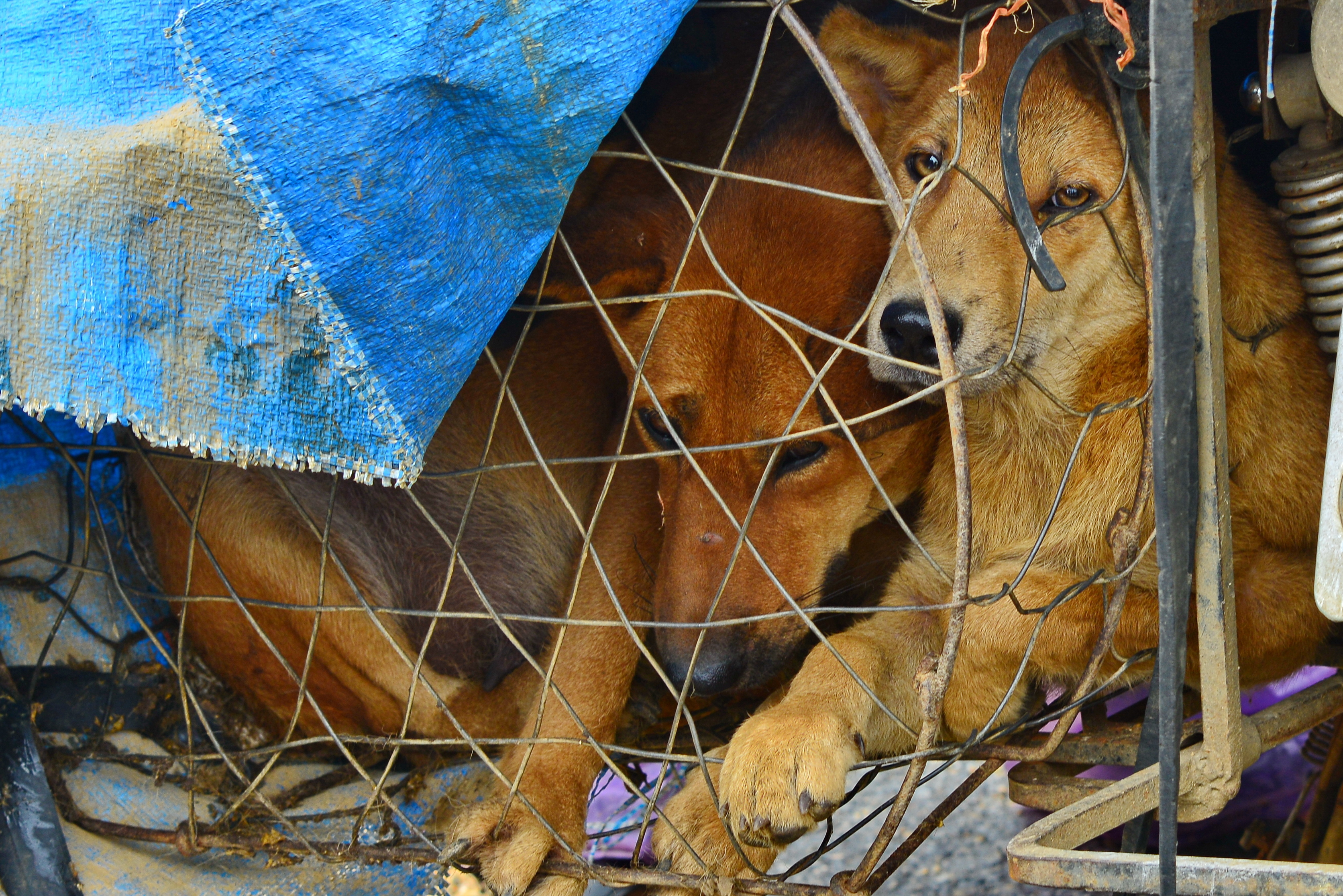 Dogs in cage for dog meat trade